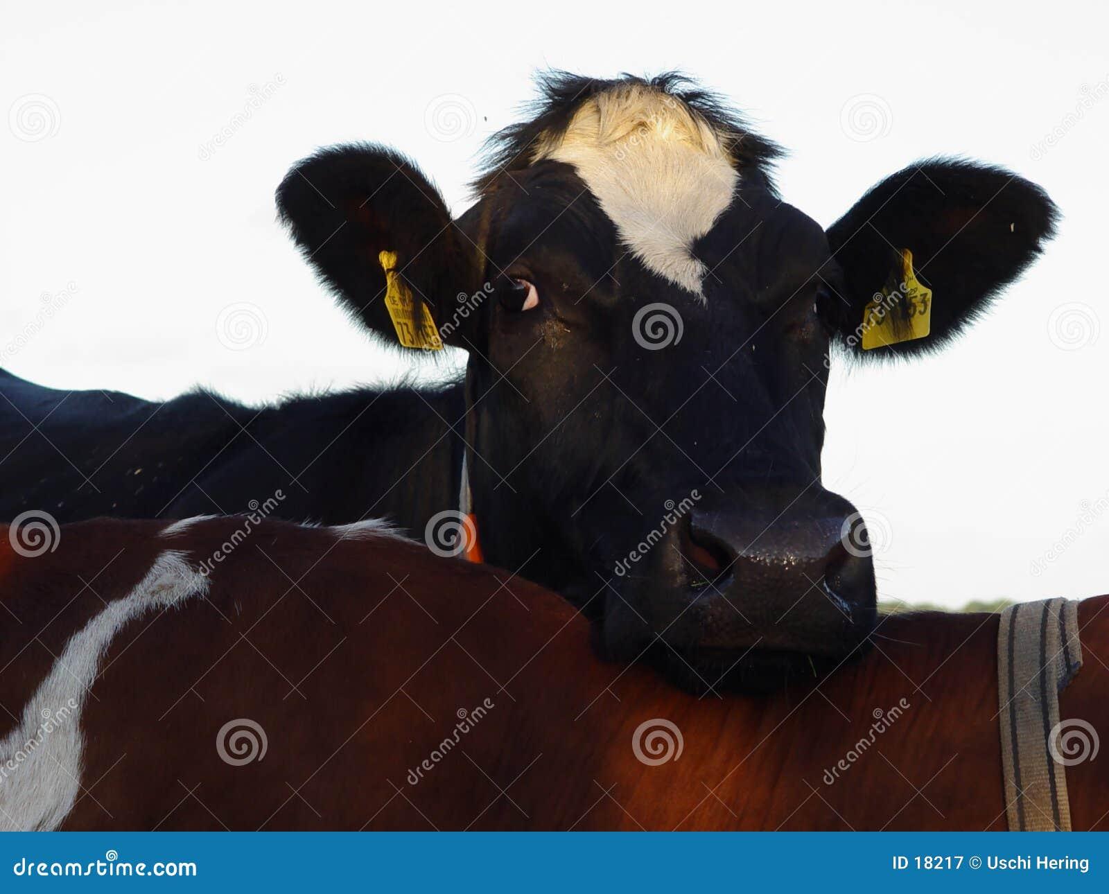 Vache confortable