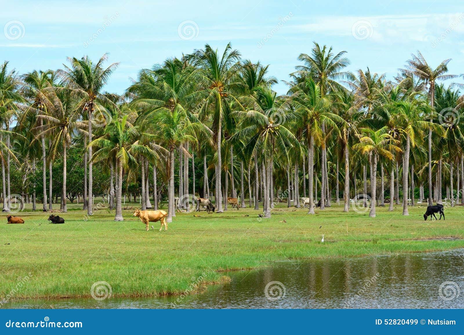 Vache dans la plantation de palmier de noix de coco image - Palmier noix de coco ...