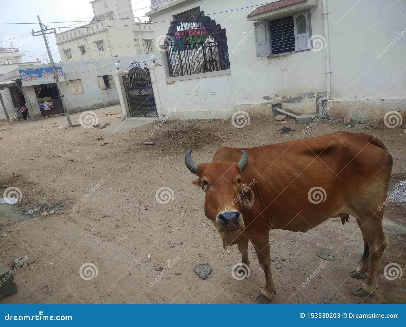 Vache dans la rue indienne
