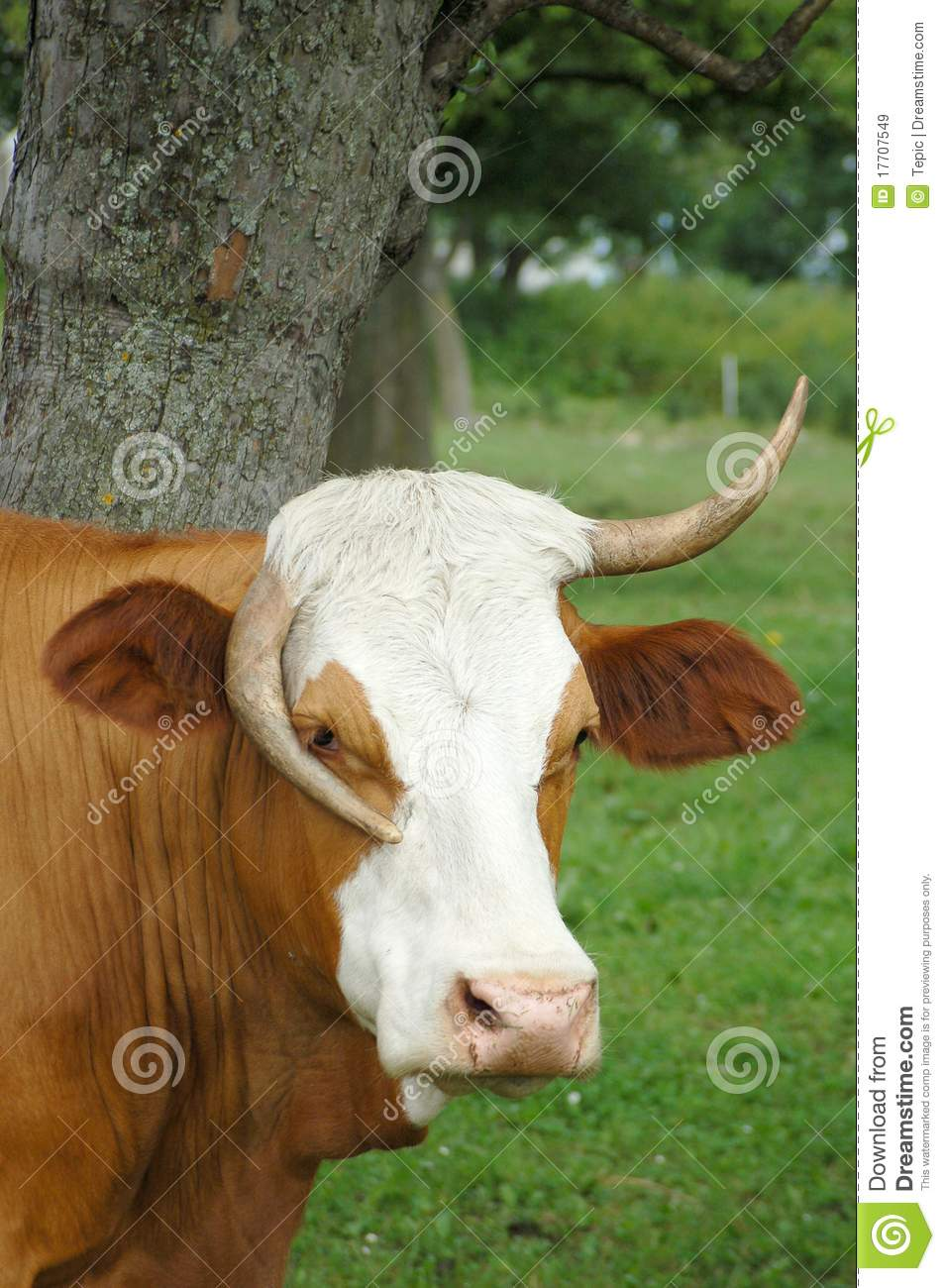 Vache dr le images libres de droits image 17707549 - Photo de vache drole ...