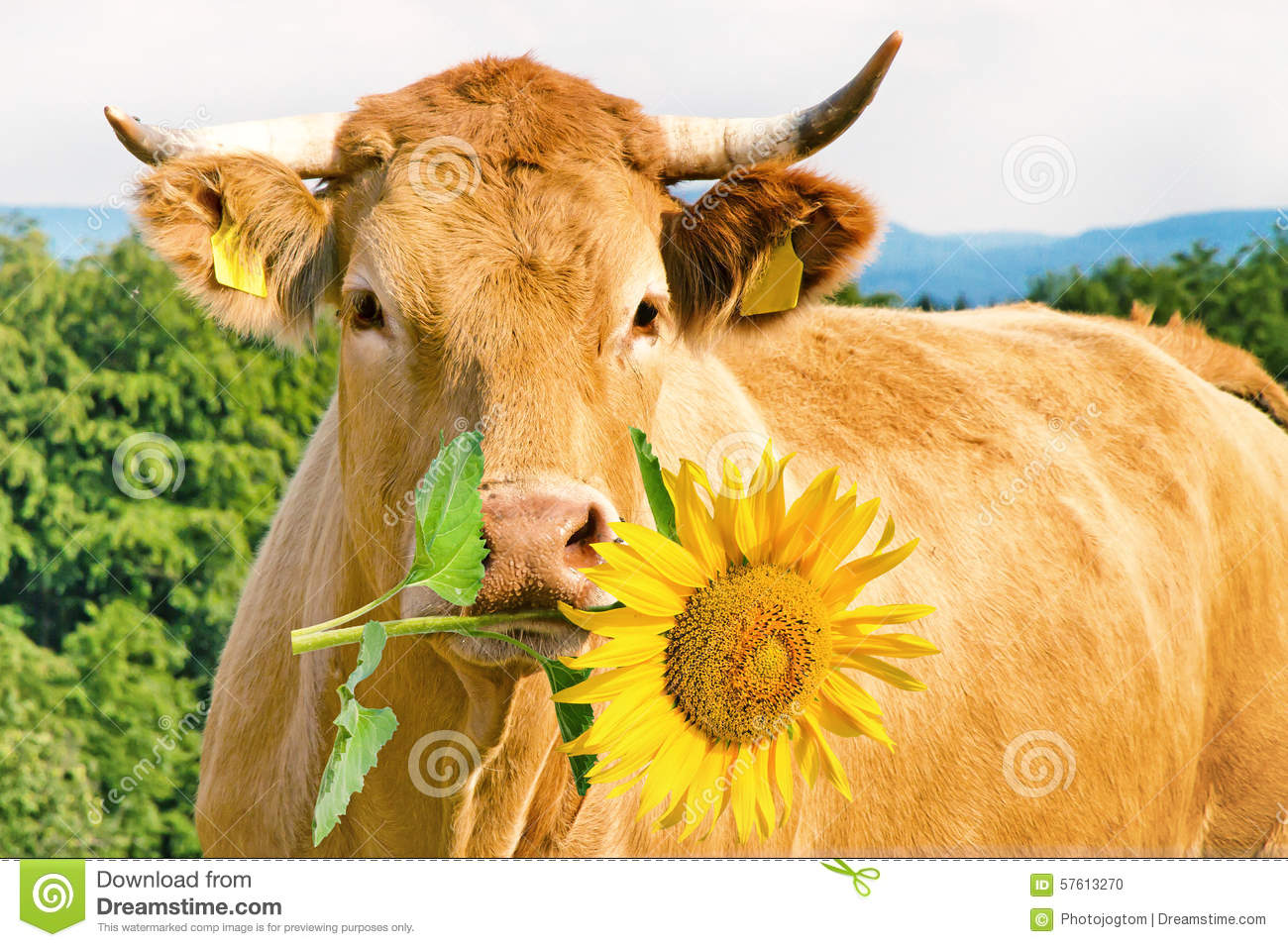 Vache dr le avec la fleur photo stock image du animal 57613270 - Photo de vache drole ...