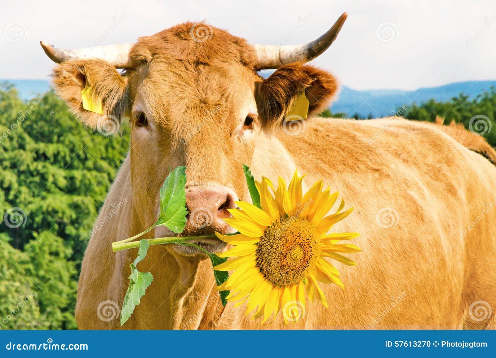Vache dr le avec la fleur photo stock image du animal 57613270 - Photo de vache drole ...