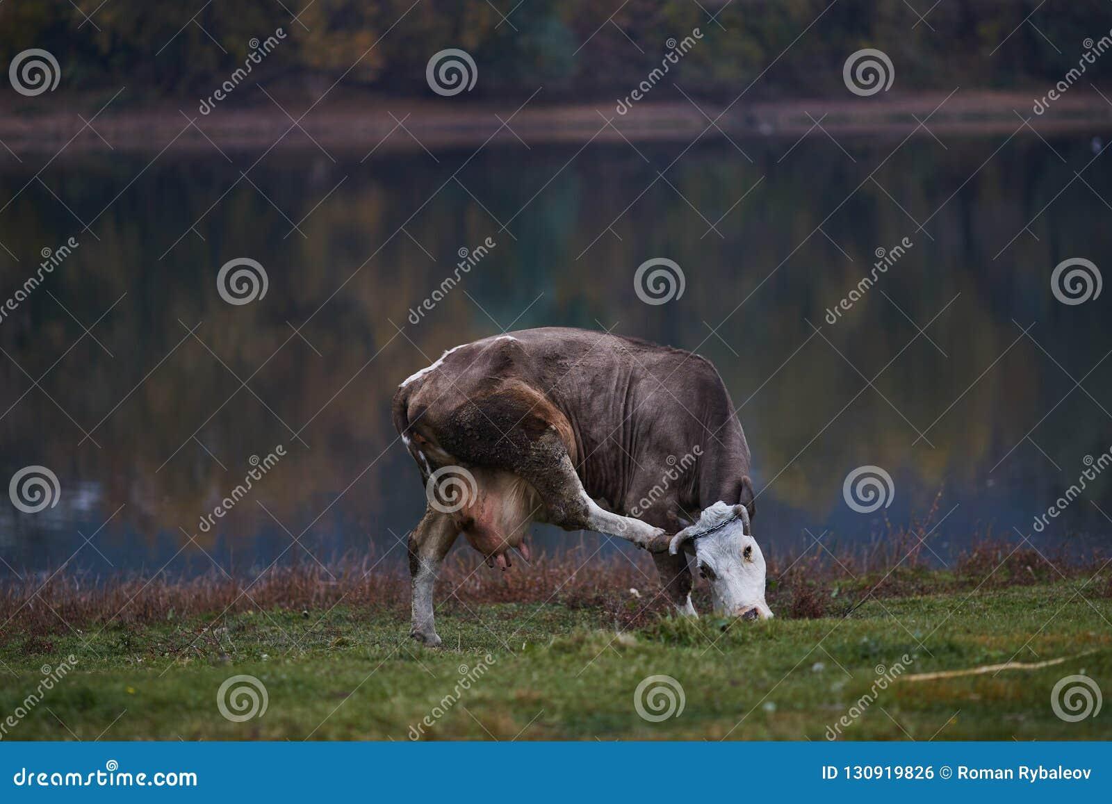 Vache frôlant dans le pré