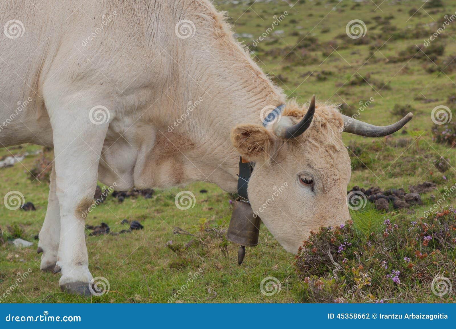 Vache frôlant sur des pâturages de montagne