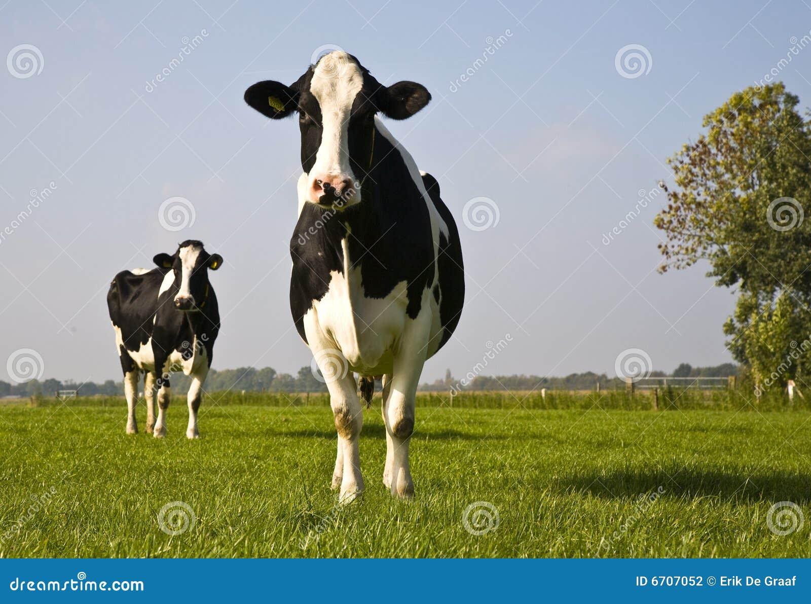 Vache hollandaise