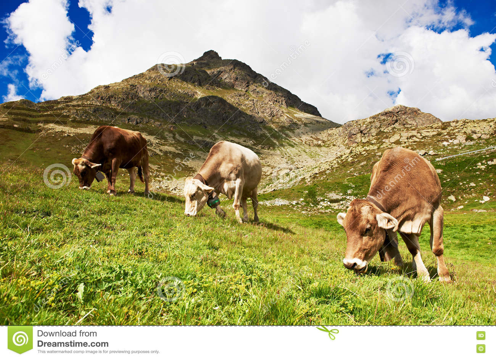 Vache laitière frôlant sur le pâturage alpin d herbe verte de montagnes