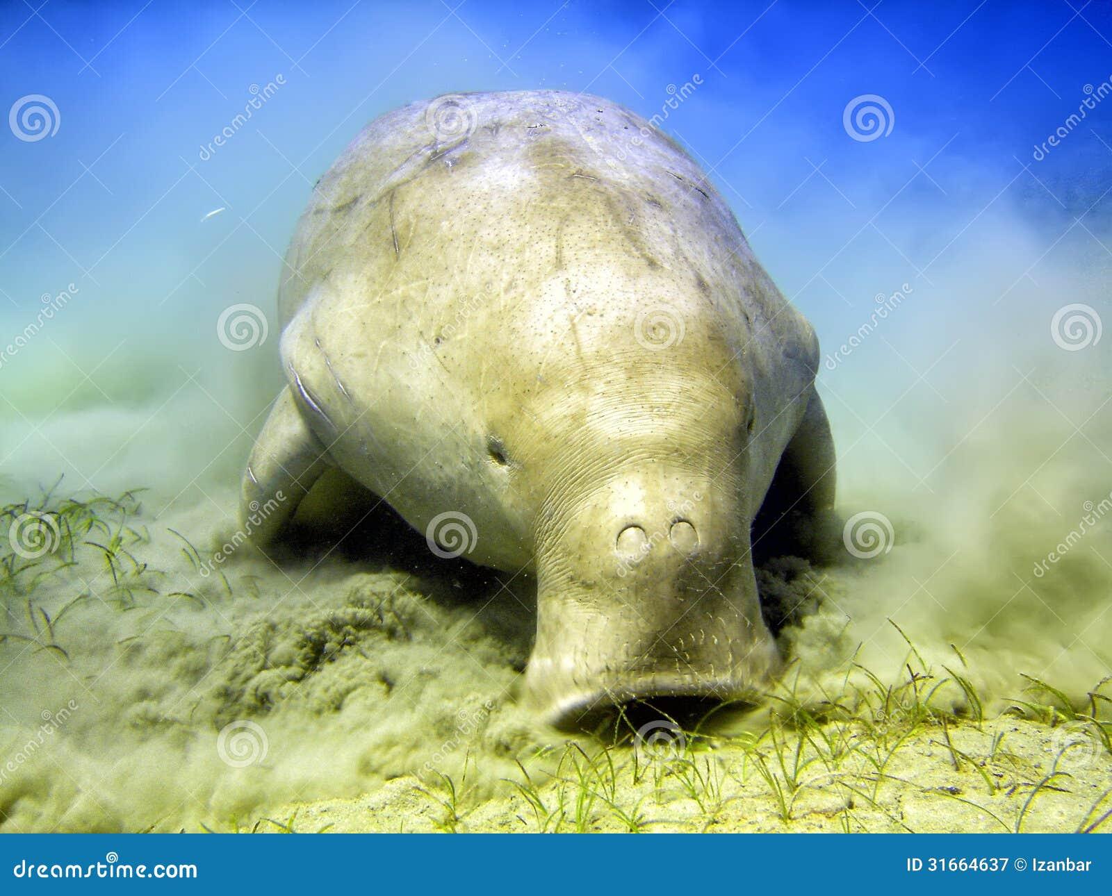 http://thumbs.dreamstime.com/z/vache-marine-de-dugongo-tout-en-creusant-le-sable-pour-la-nourriture-31664637.jpg