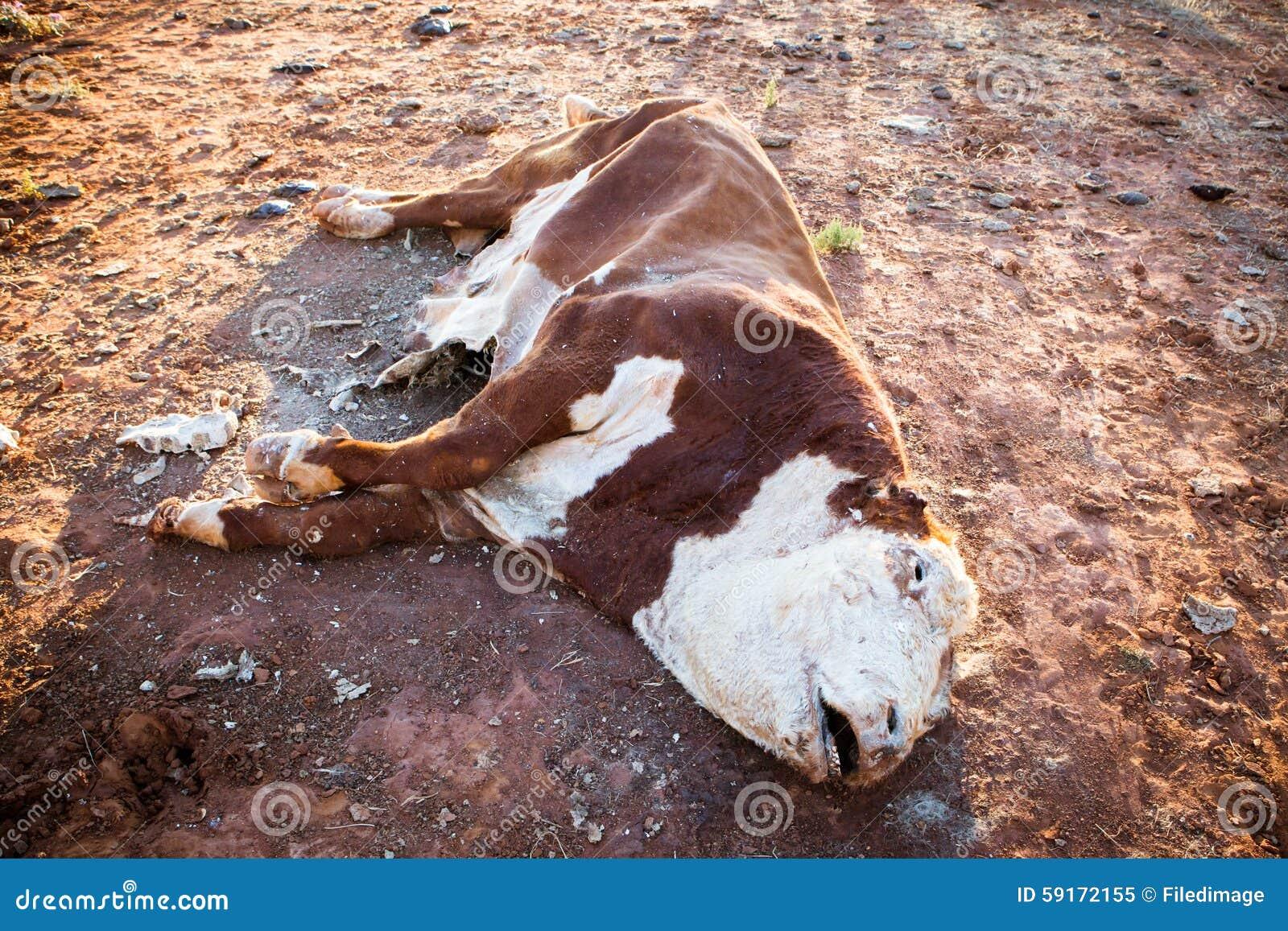 Risultati immagini per mucca morta