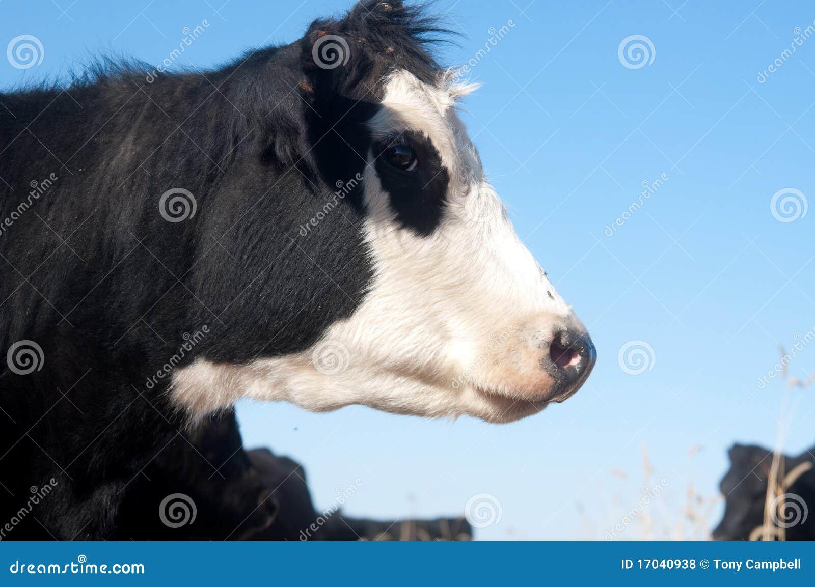 vache noire et blanche dans un p turage photos libres de droits image 17040938. Black Bedroom Furniture Sets. Home Design Ideas