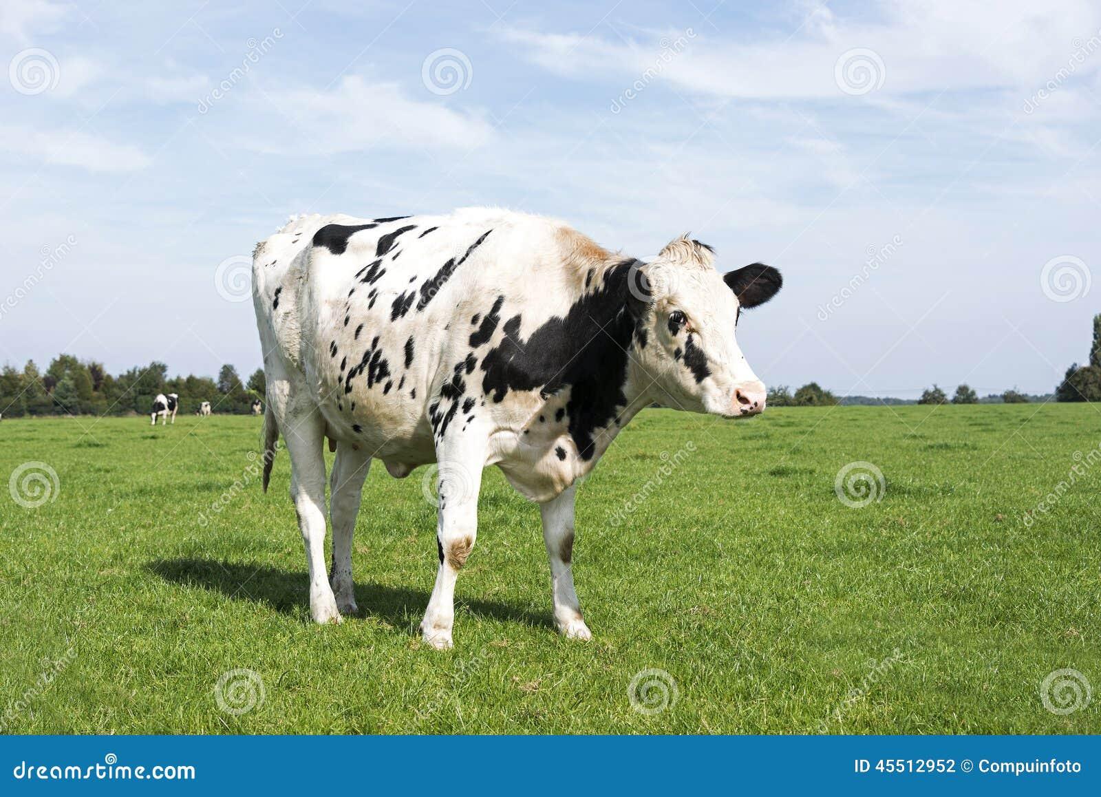 vache noire et blanche fr lant dans l 39 herbe verte photo stock image 45512952. Black Bedroom Furniture Sets. Home Design Ideas