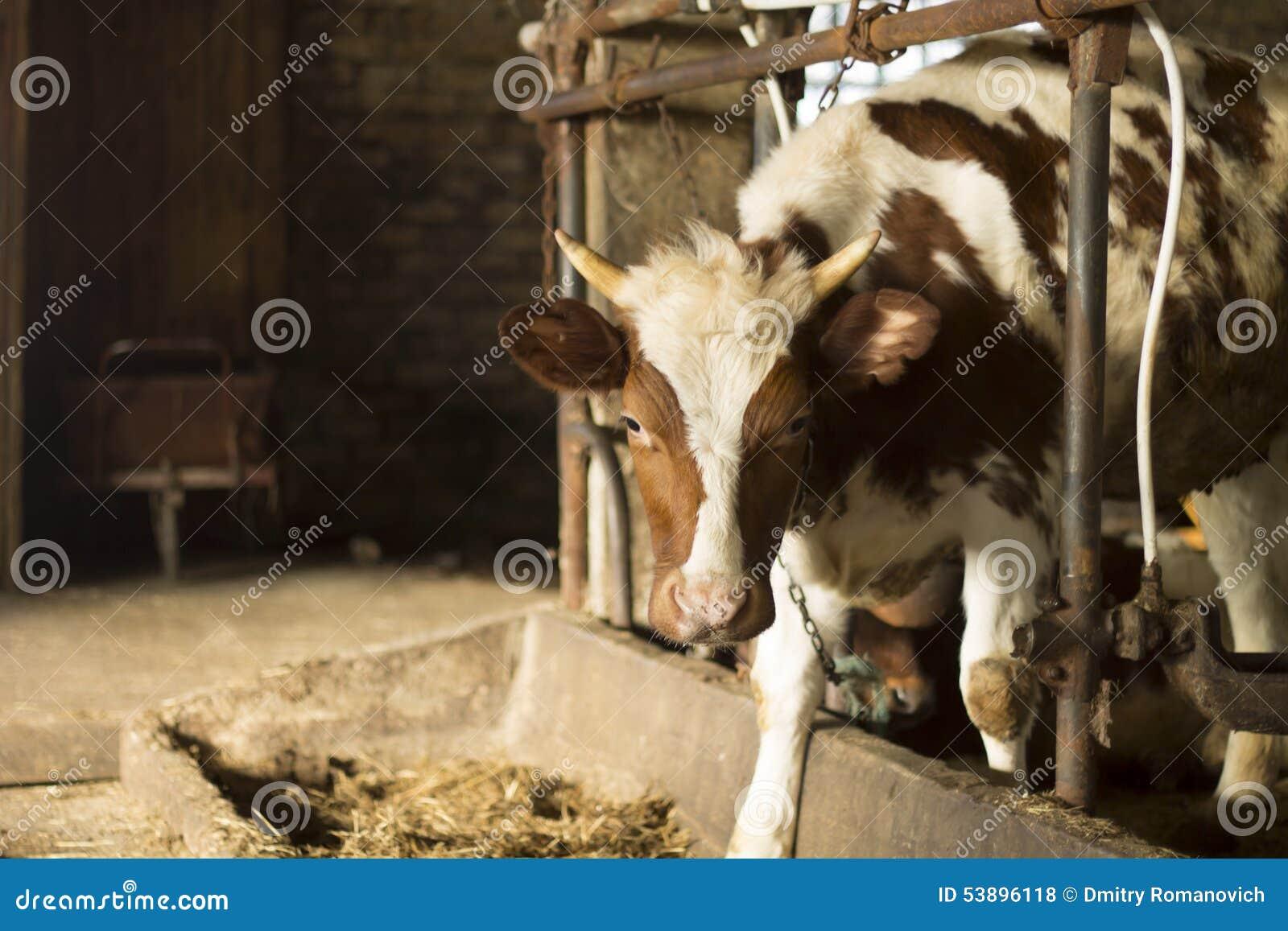 Vache par la couchette