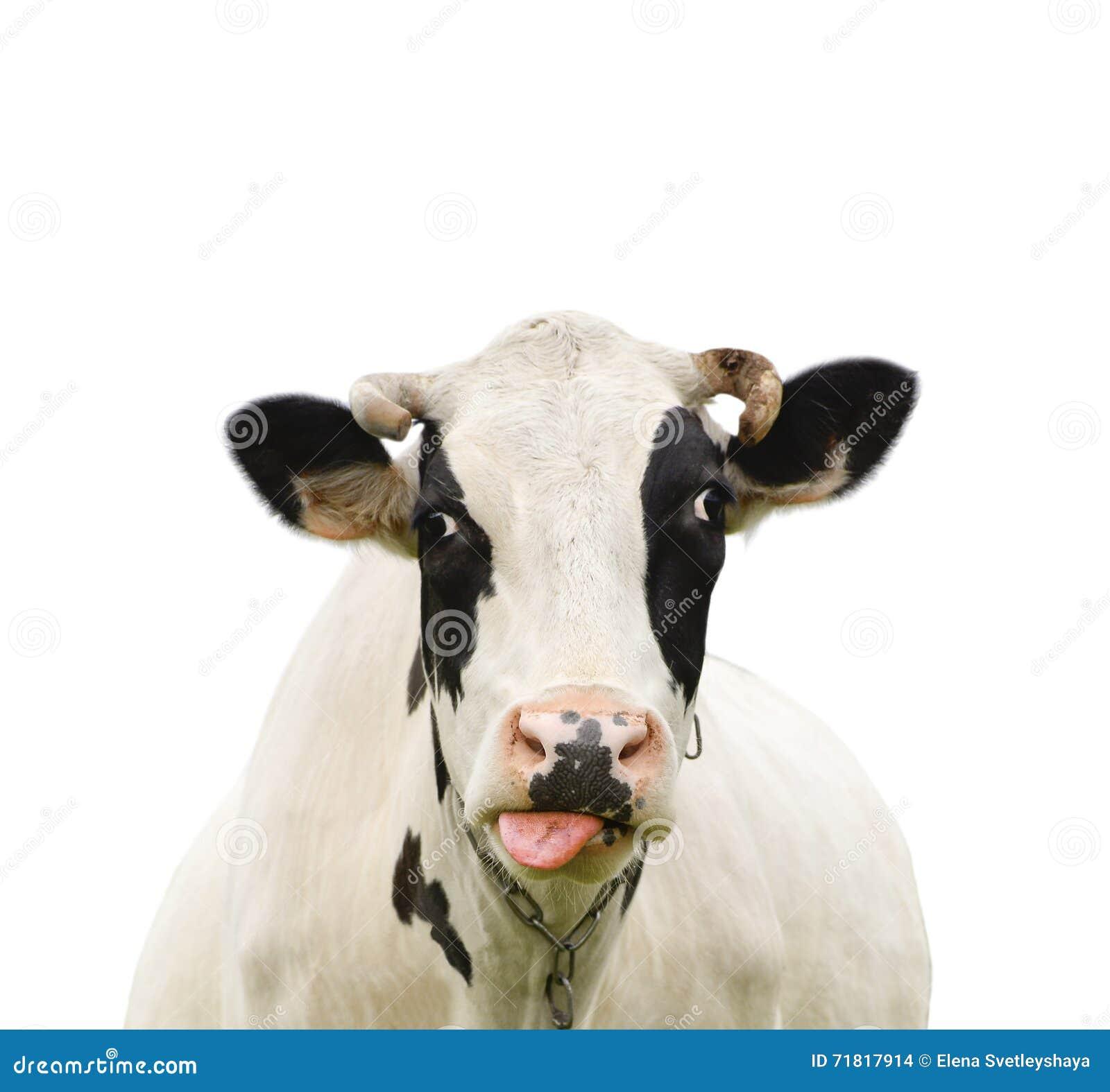 Vache Parlante Drôle D'isolement Sur Le Blanc Photo stock - Image du collecte, cheveu: 71817914