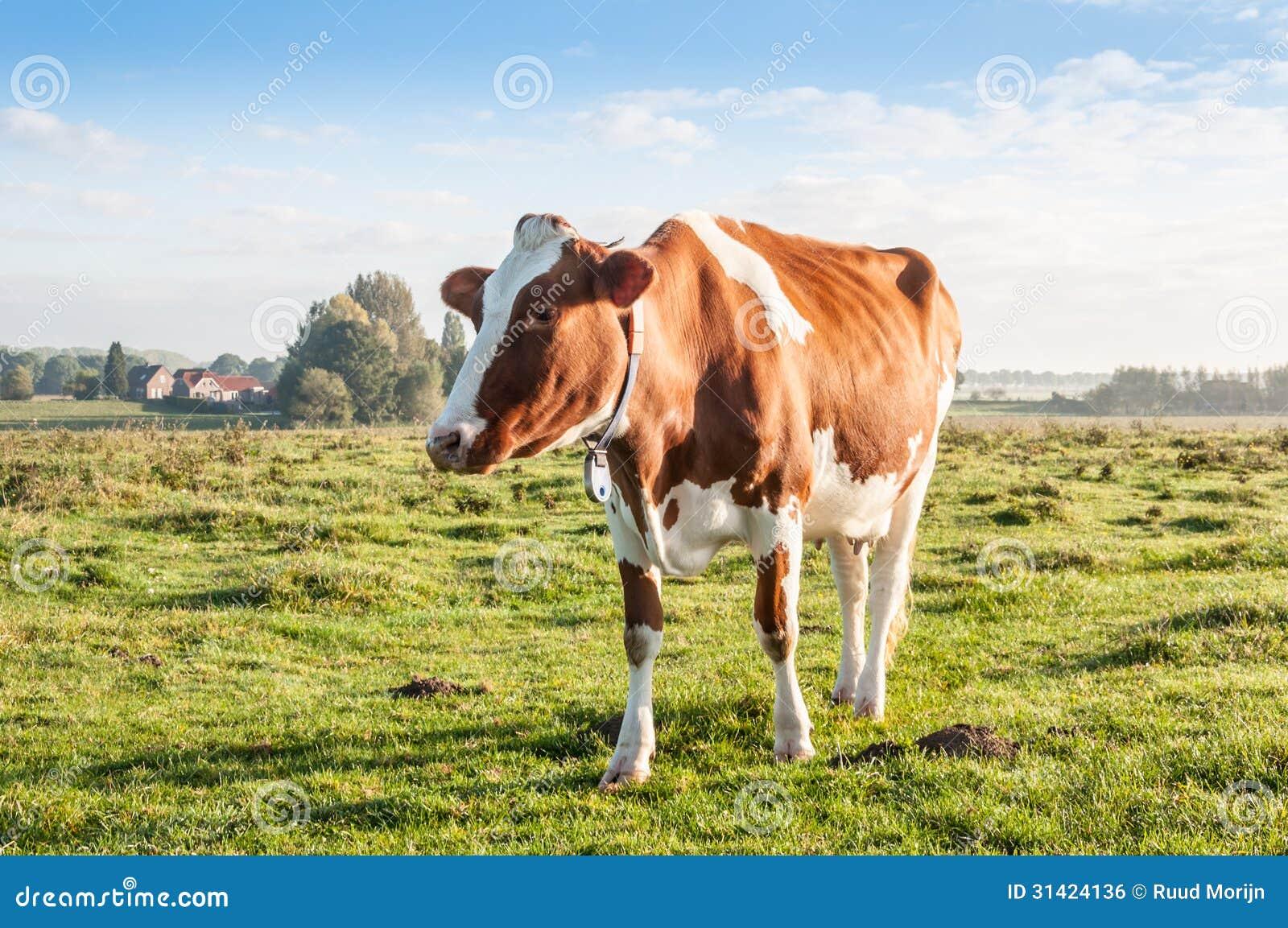 Vache rouge-brun seul se tenant à la lumière du soleil de début de la matinée