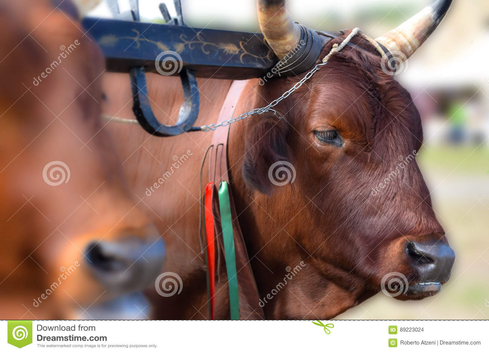 Vache rouge italienne dans la ferme rurale, joug des boeufs dans l agriculture biologique