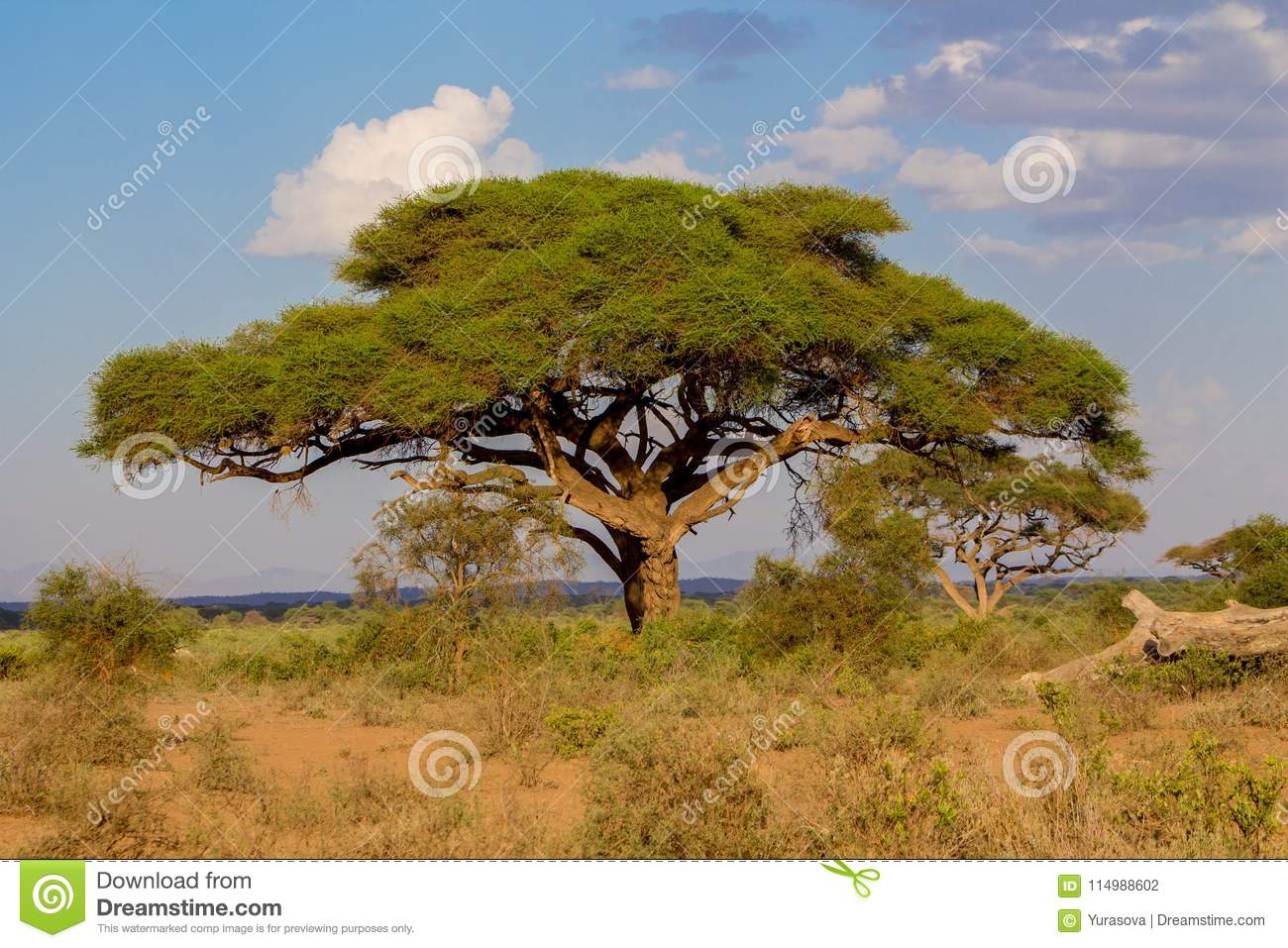 Umbrella Thorn Acacia Acacia Tortilis Beautiful Landscape Of Africa