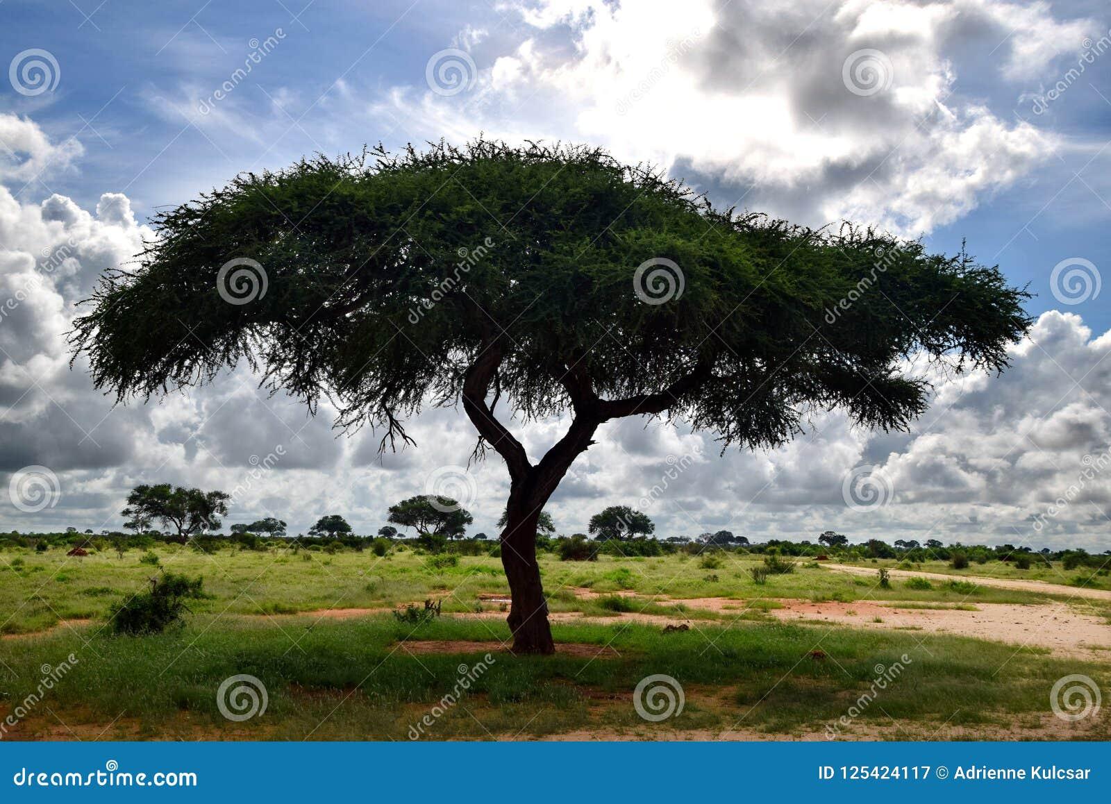 Vachellia tortilis drzewo i nietknięta natura przy Afrykańską sawanną