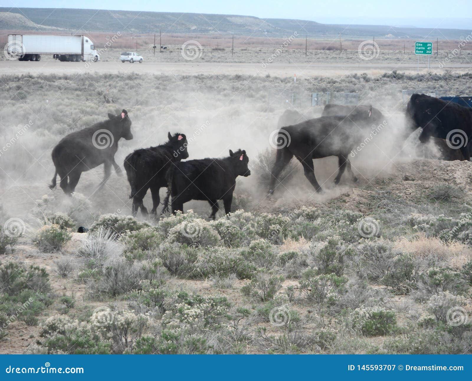 Vaches courant loin et remuant la poussière