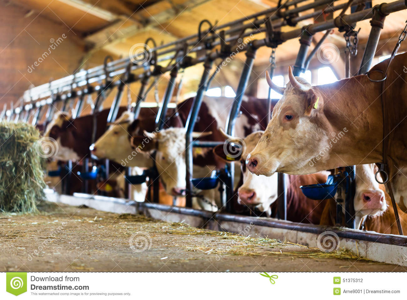 Vaches dans l 39 table photo stock image du vaches for Etable entravee vache