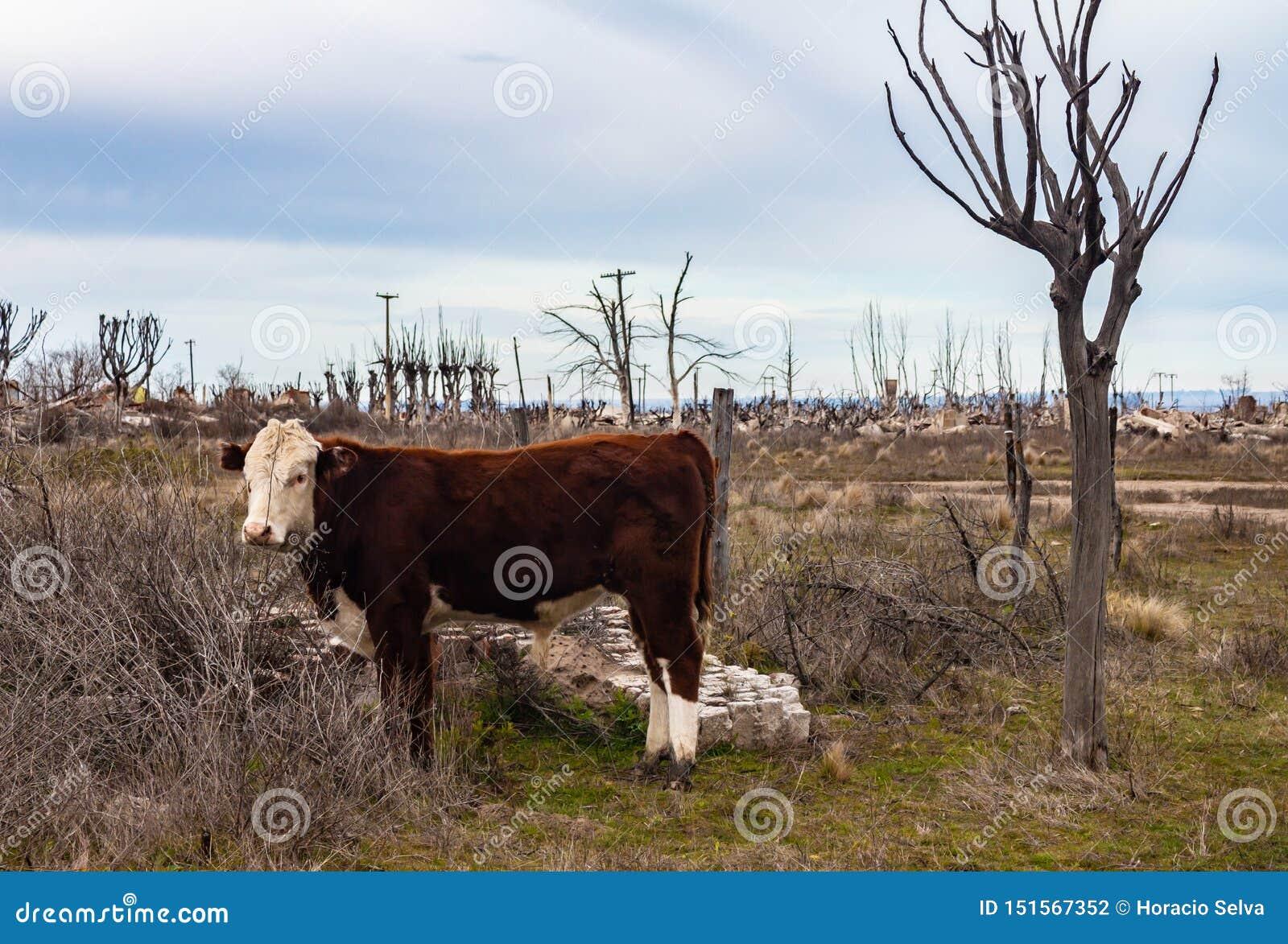 Vaches dans la ville inondée d Epecuen Bétail dans la ville fantôme Arbres secs dans la ville ruinée