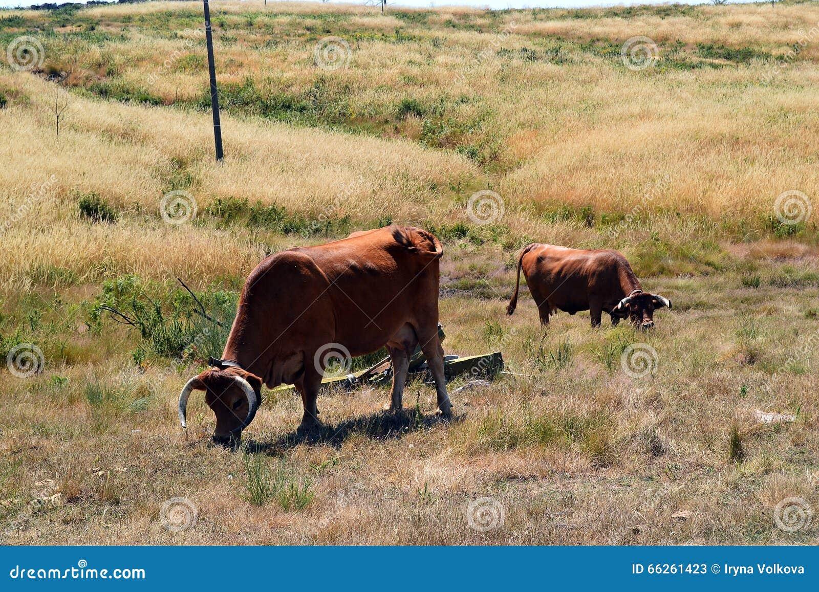 Vaches du Portugal