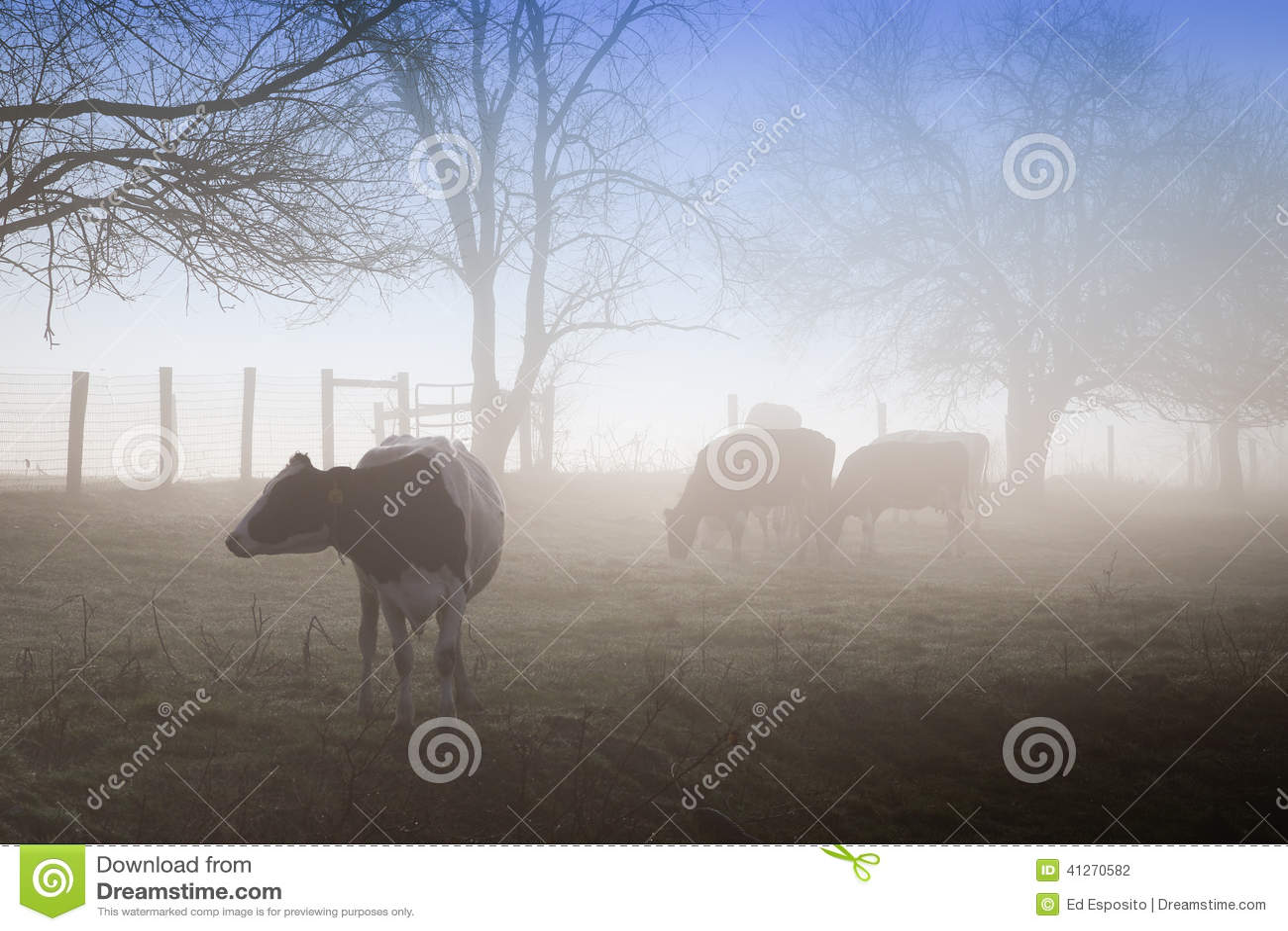 http://thumbs.dreamstime.com/z/vaches-en-brouillard-de-matin-41270582.jpg