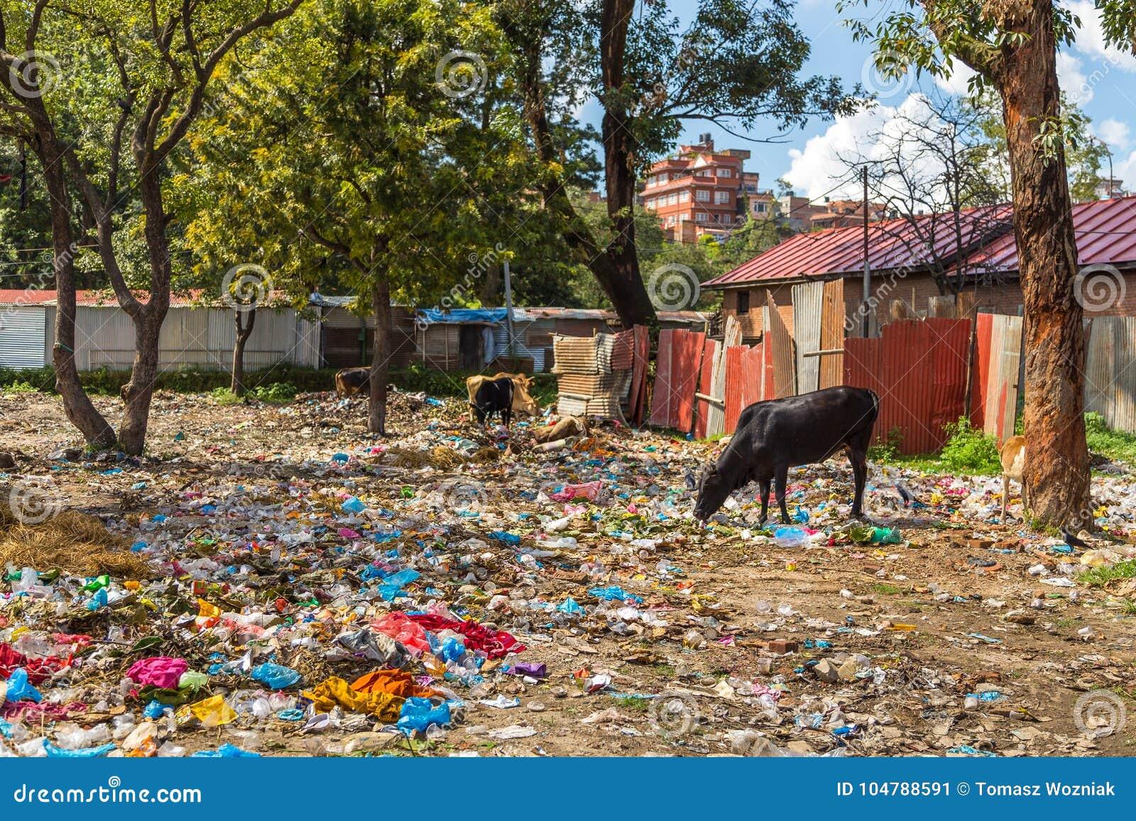 Vaches frôlant sur une humidité de déchets