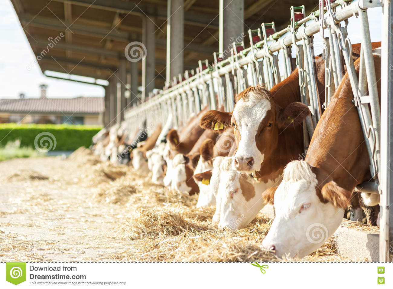 Vaches mangeant le foin dans l 39 table image stock image for Etable entravee vache