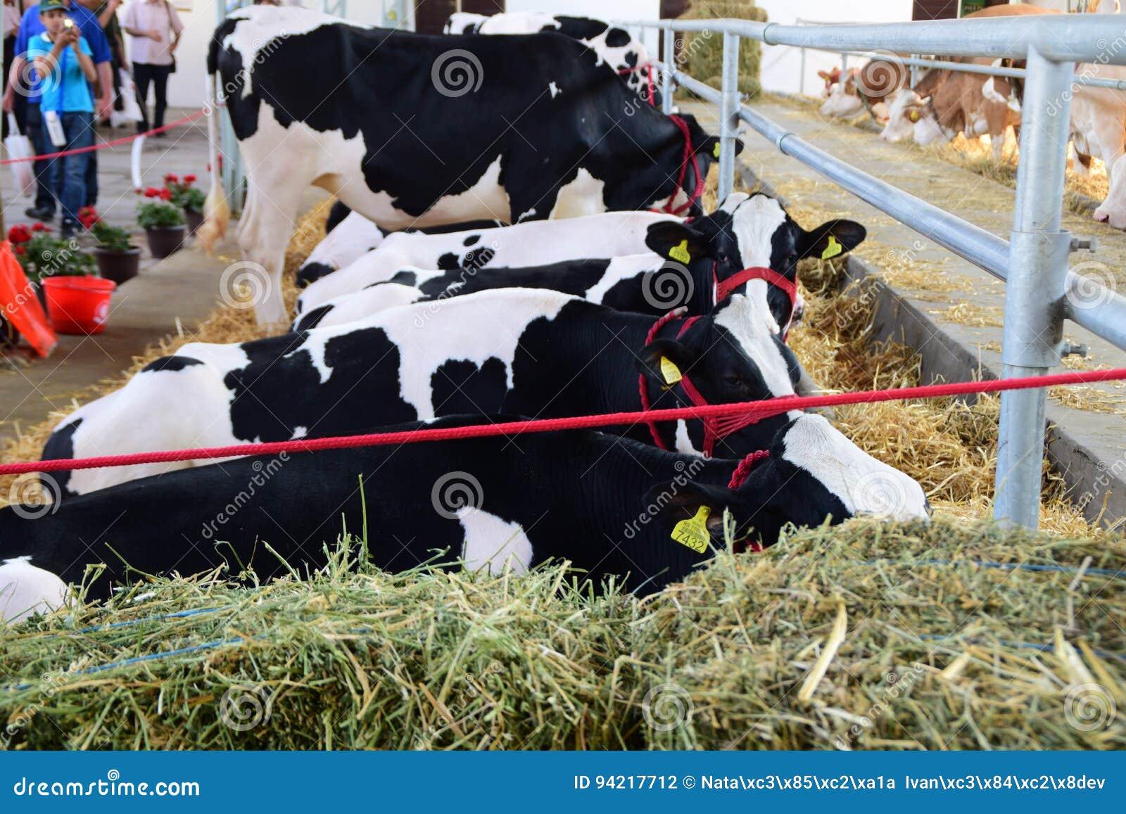 Vaches noires et blanches et des vaches brunes et blanches frôlant et se reposant dans une grange