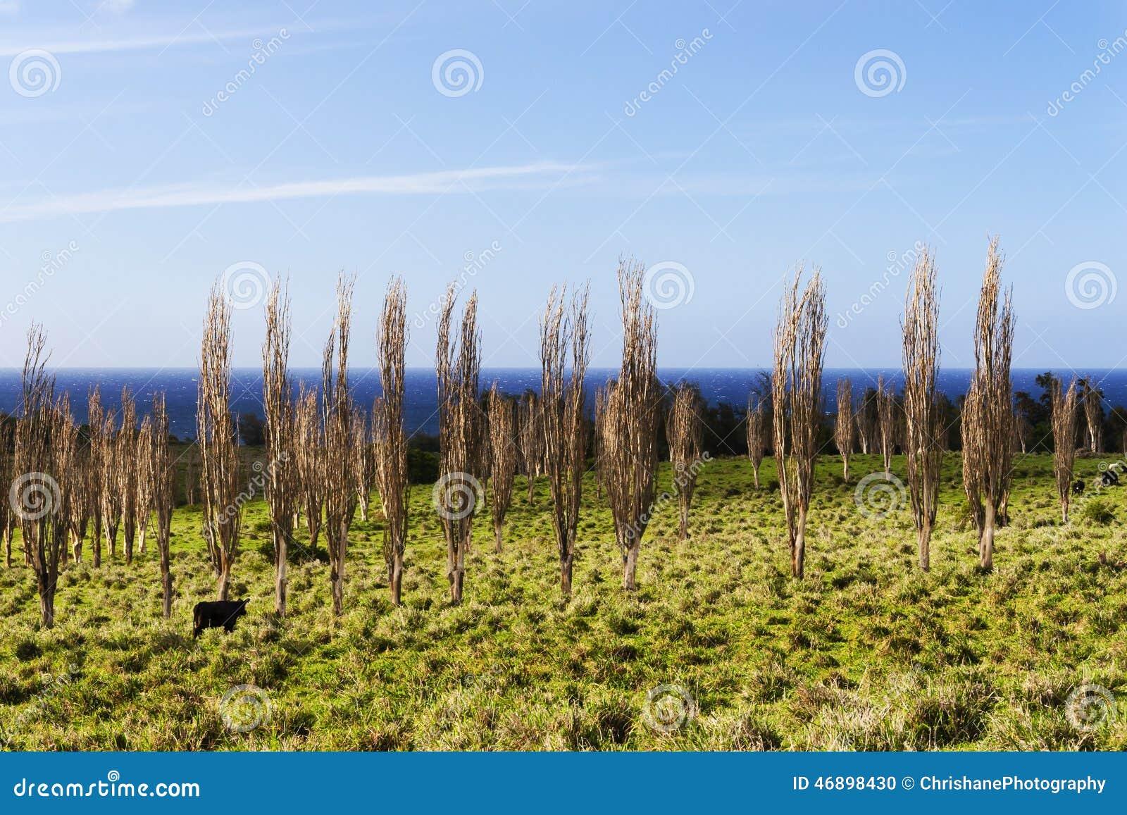 Vaches sur la grande île Hawaï, frôlant parmi les arbres