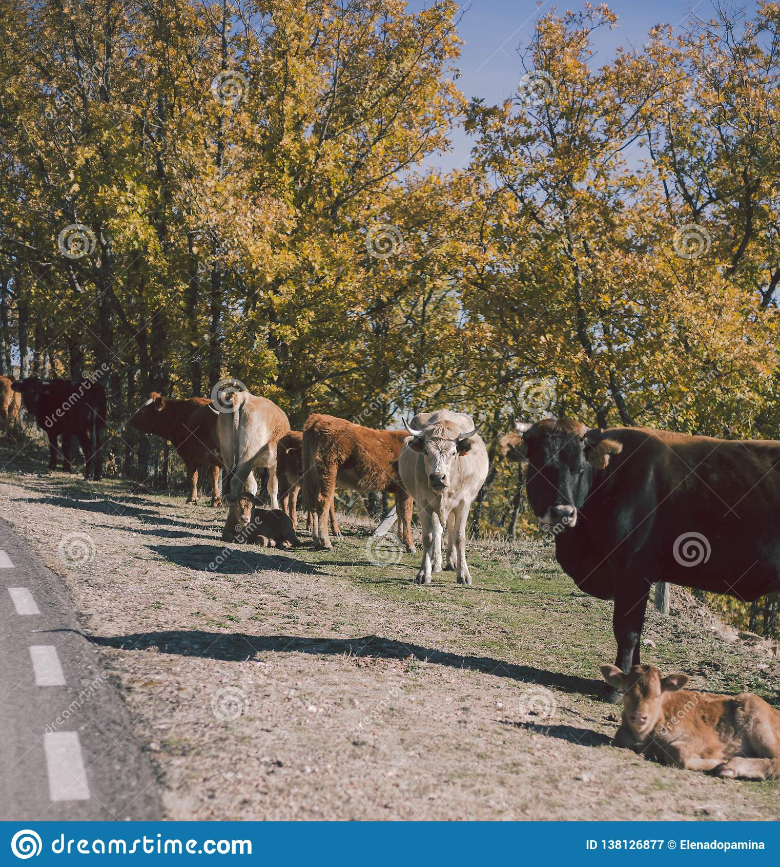 Vaches sur la route, La Mancha, Espagne de la Castille