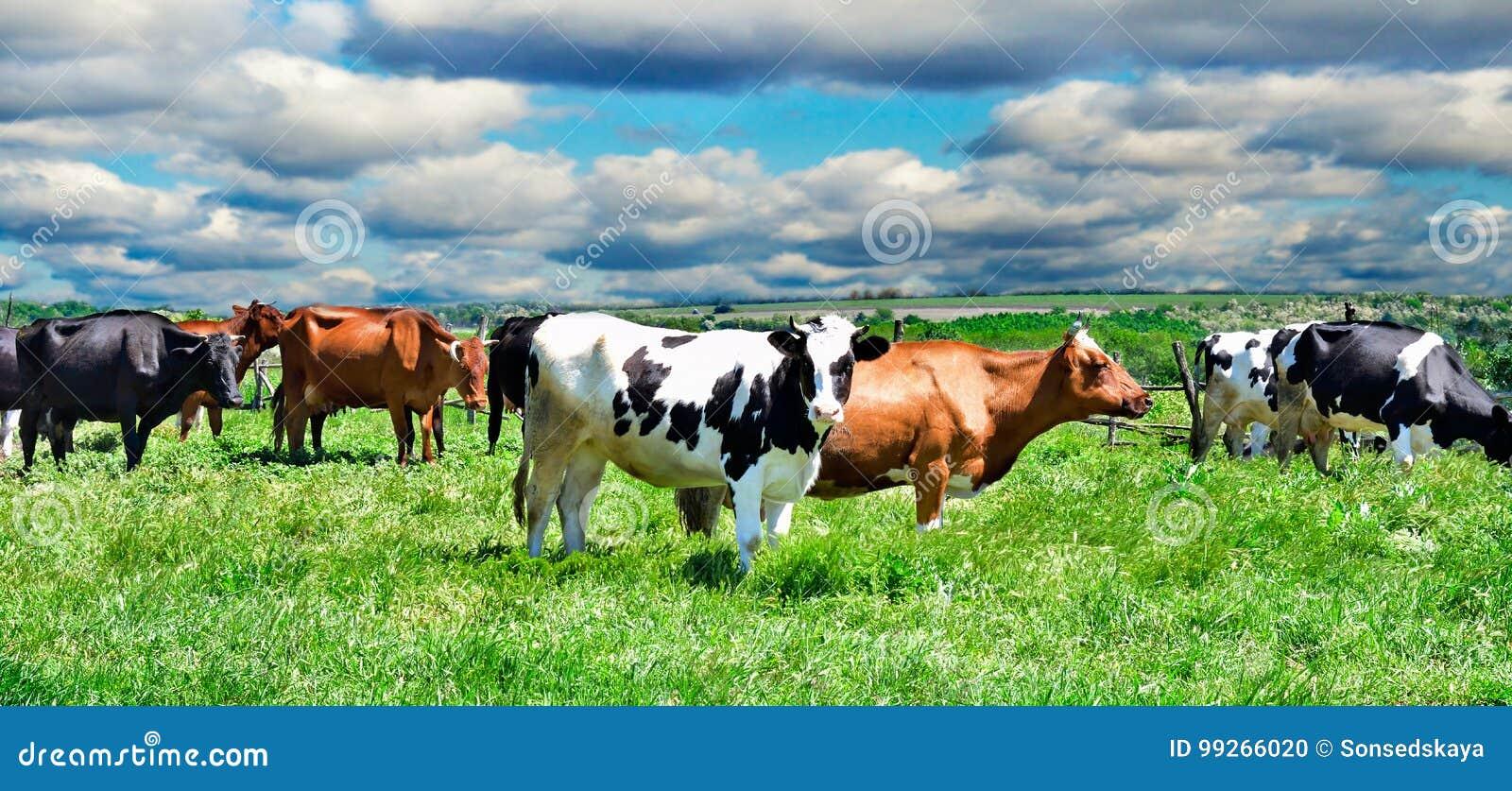 Vaches sur un pâturage