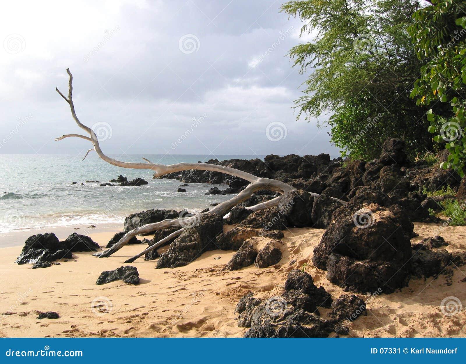Vada alla deriva il legno sulle rocce e sulla sabbia della lava