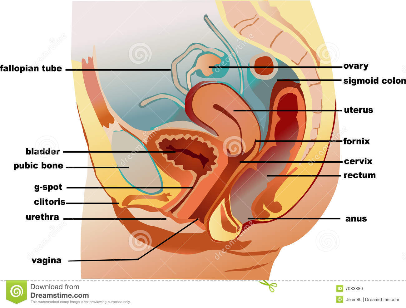 Sexual anatomy hentay tube