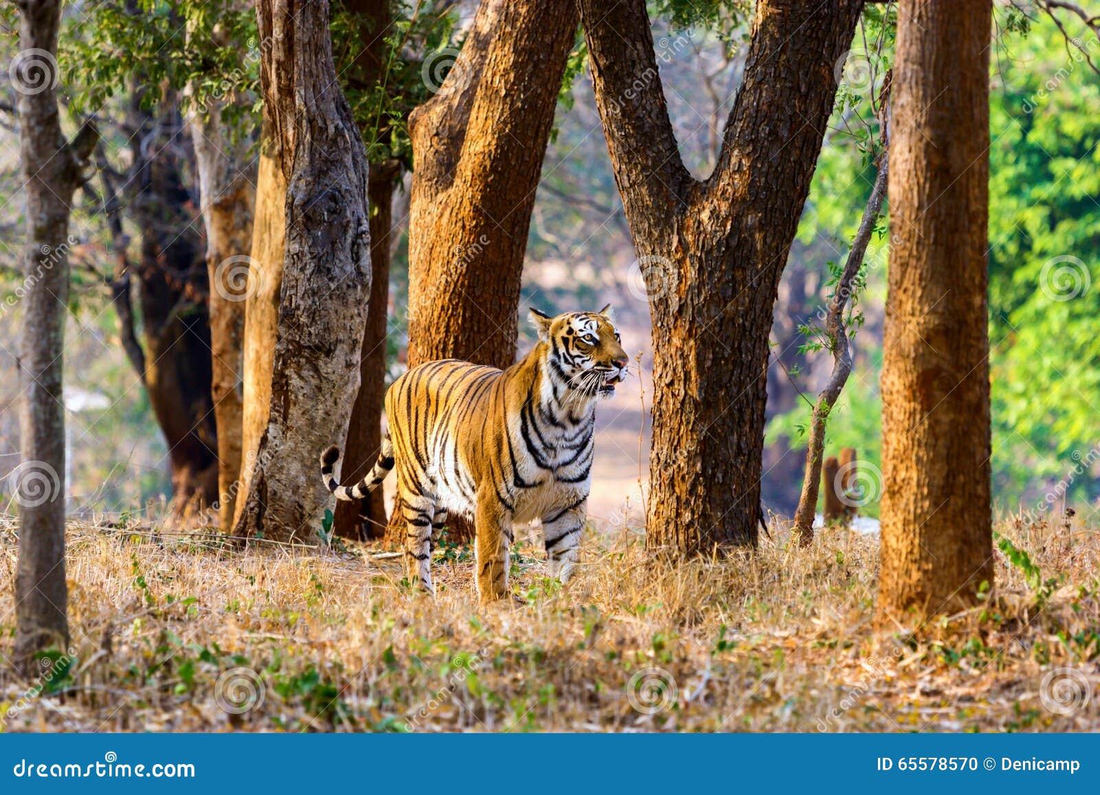 Vaguear do tigre selvagem