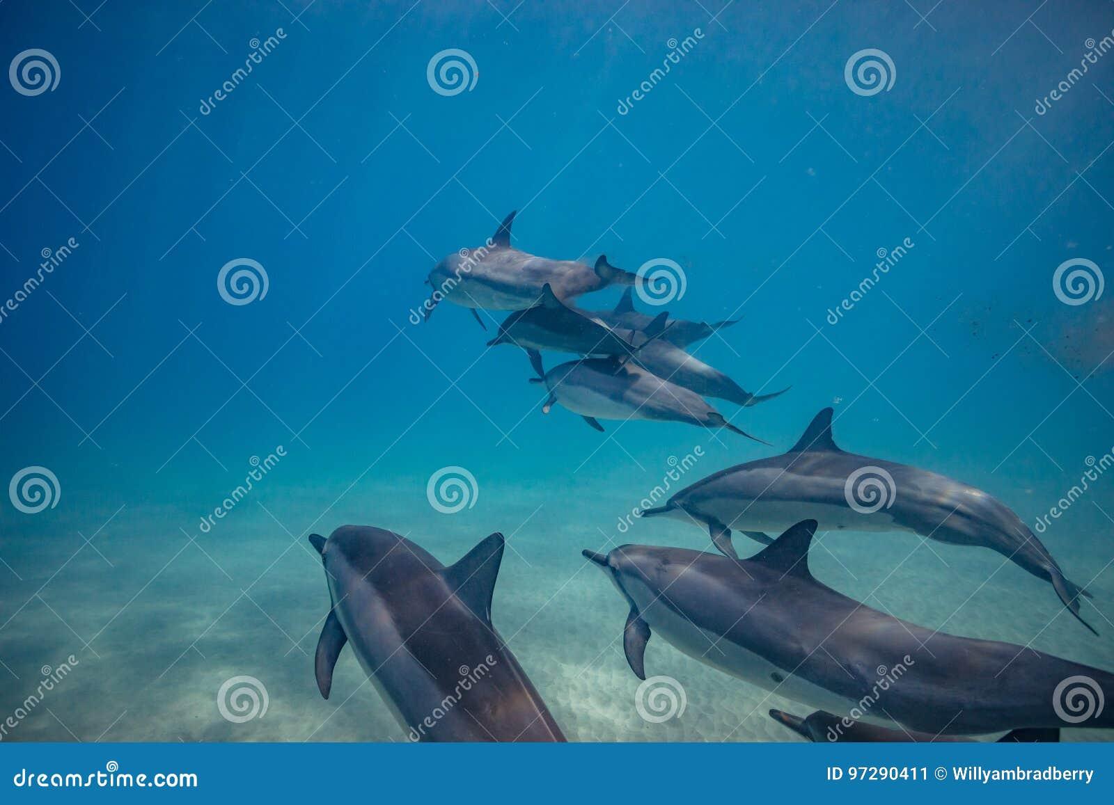 Vaina de los delfínes salvajes subacuáticos