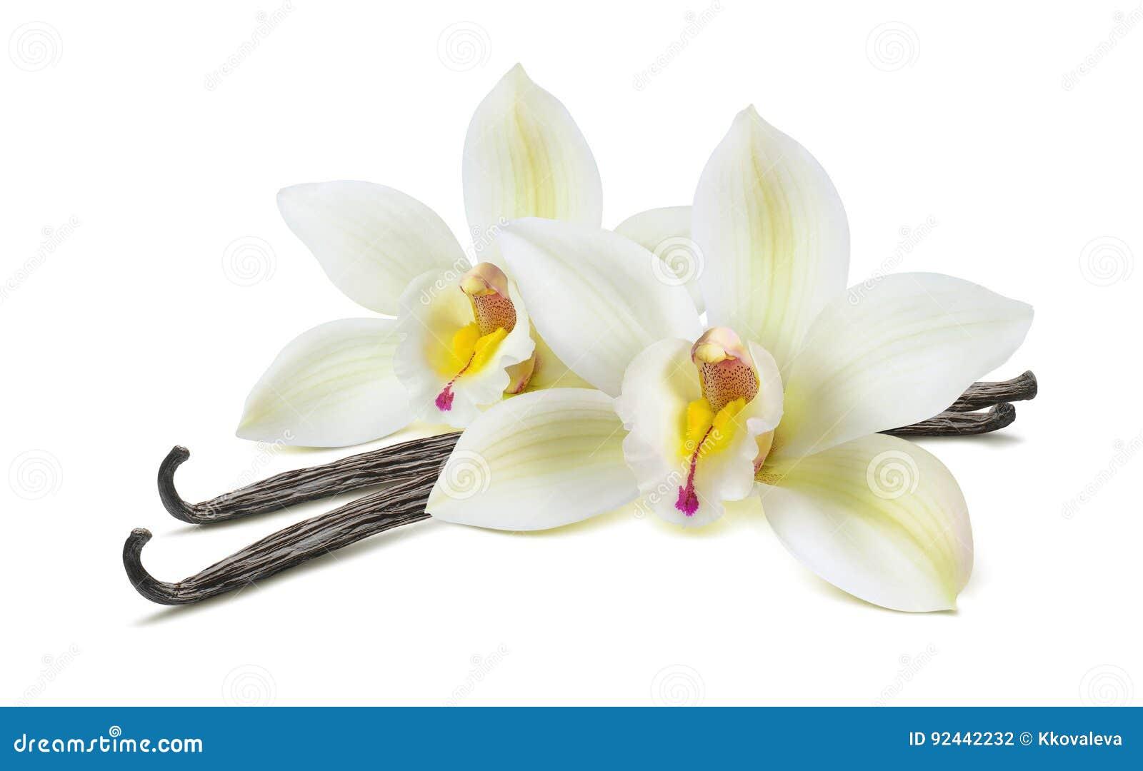 Vainas dobles de la flor de la vainilla aisladas en blanco