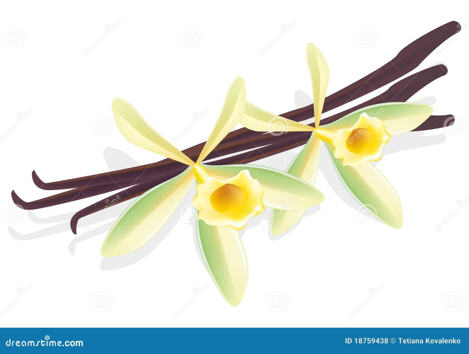 Vainilla de la flor. Vainas secadas. Ilustración del vector.
