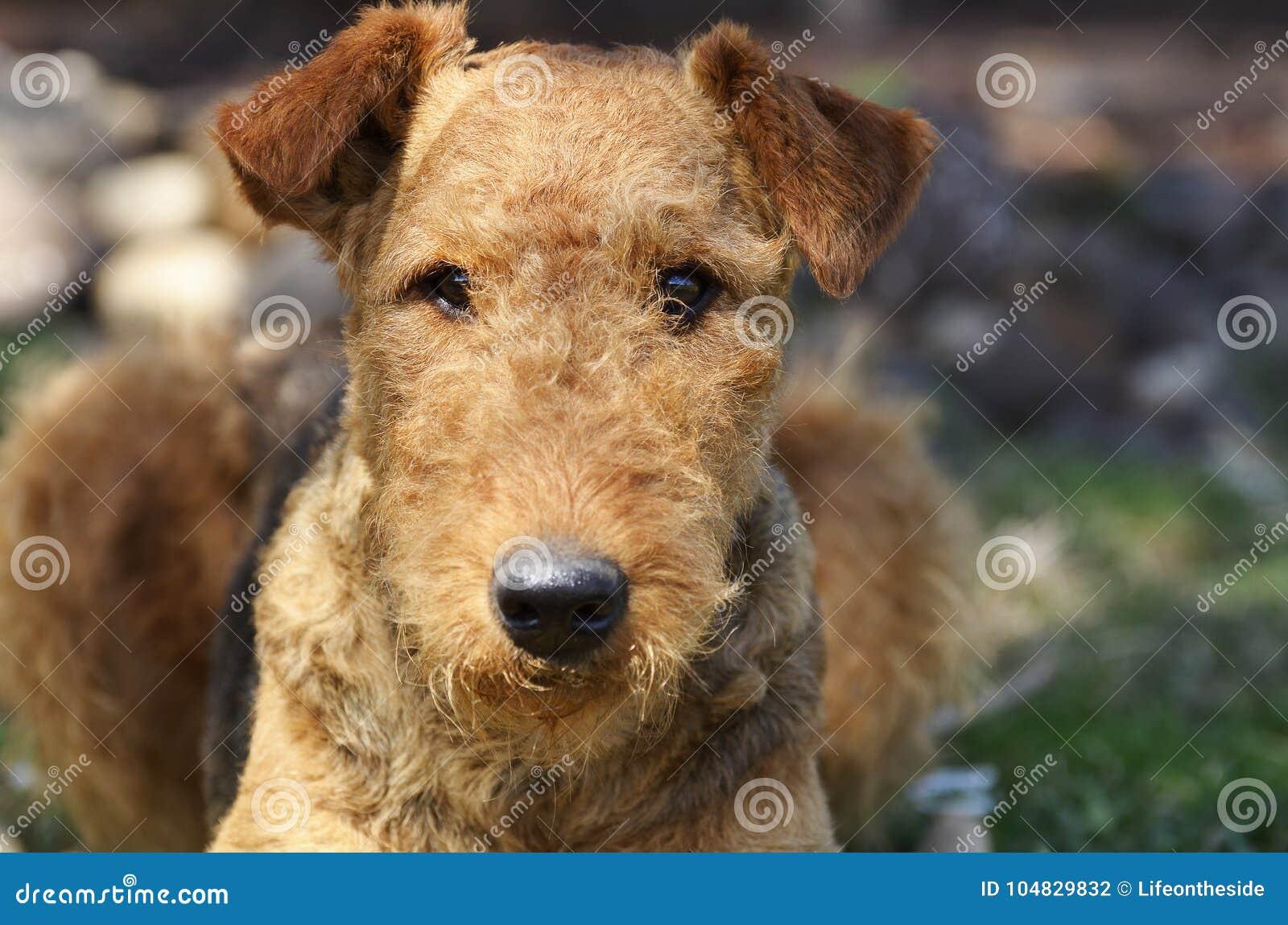 Vaken intelligent älsklings- hund i lydnadutbildningsskola