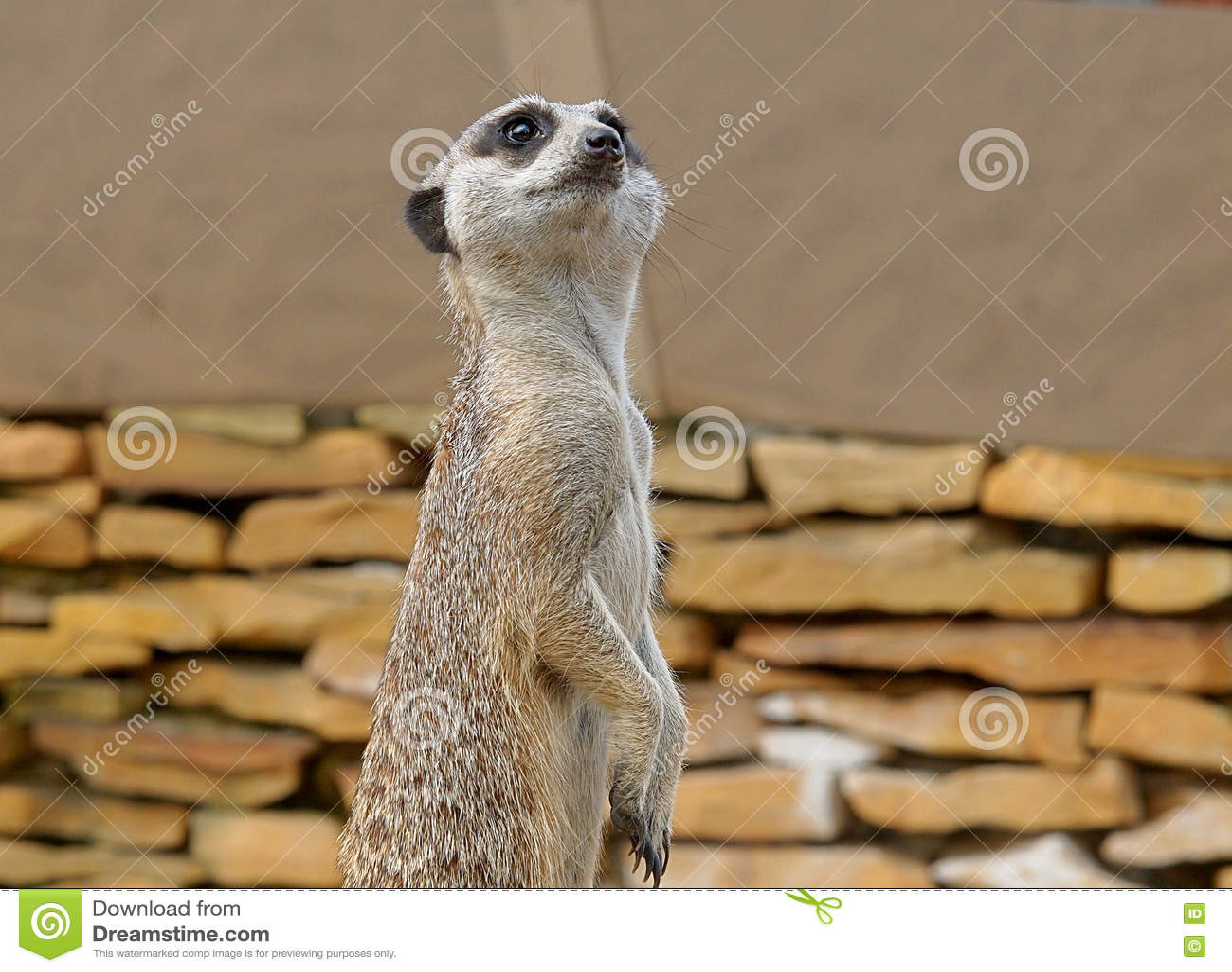 Vakna Meerkats utanför