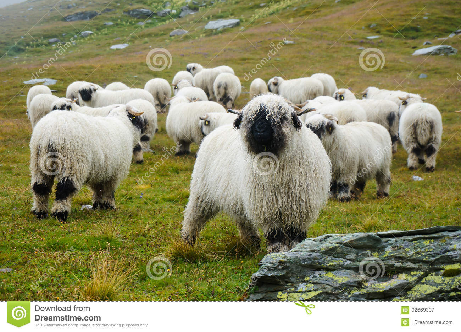 Valais Blacknose Sheep herd at Zermatt, Switzerland.