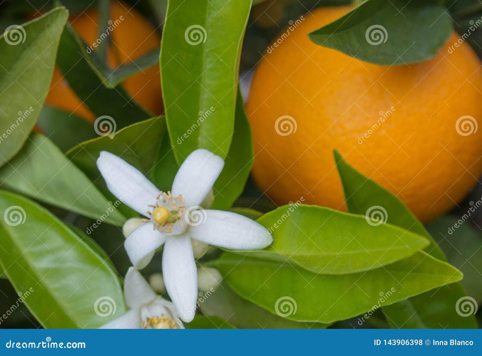 Valencian orange und orange Bl?ten spanien