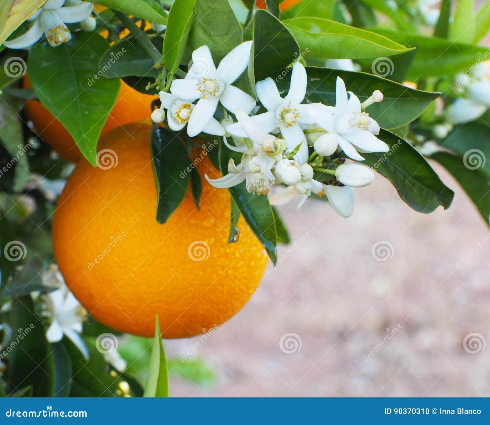 Valencian orange und orange Blüten