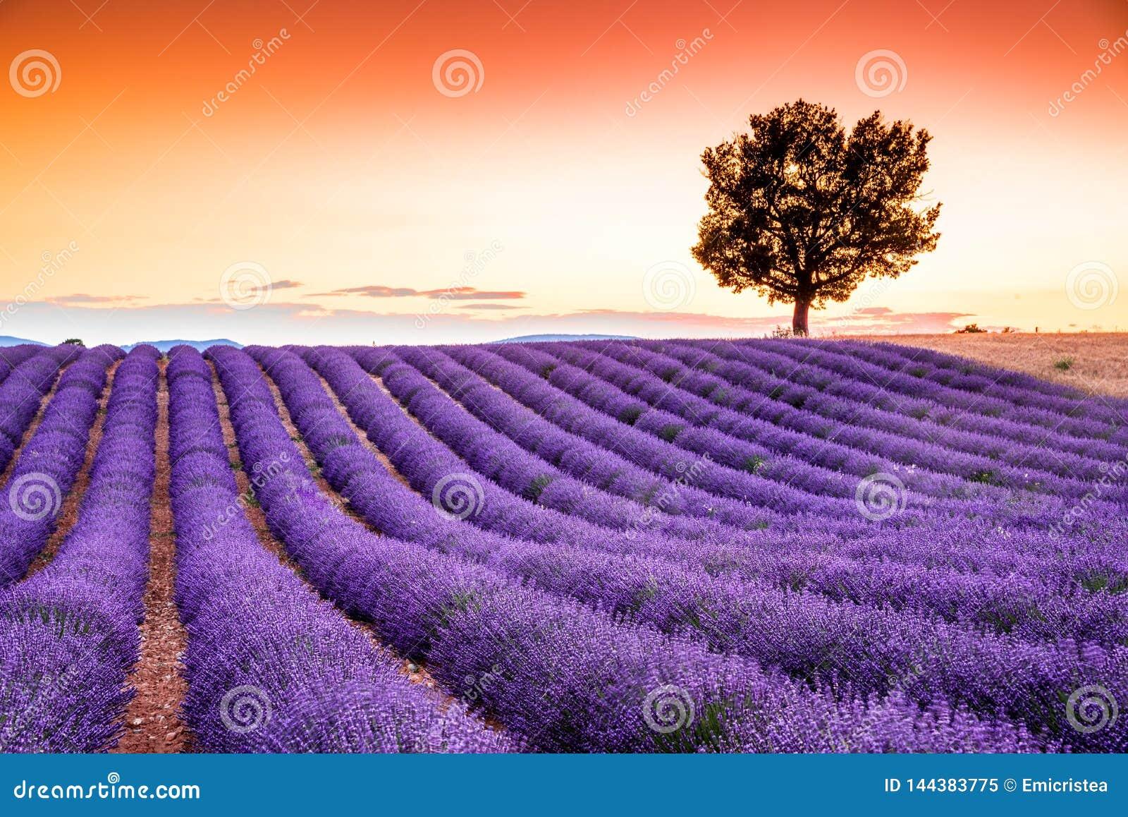 Valensole lavendel i Provence, Frankrike