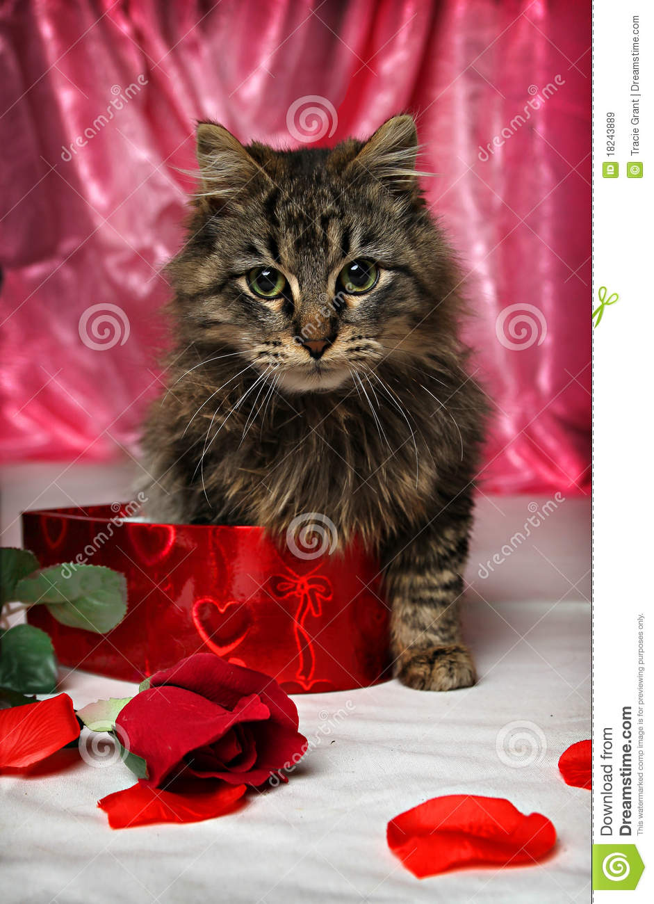 Valentine Kitten Royalty Free Stock Images Image 18243889