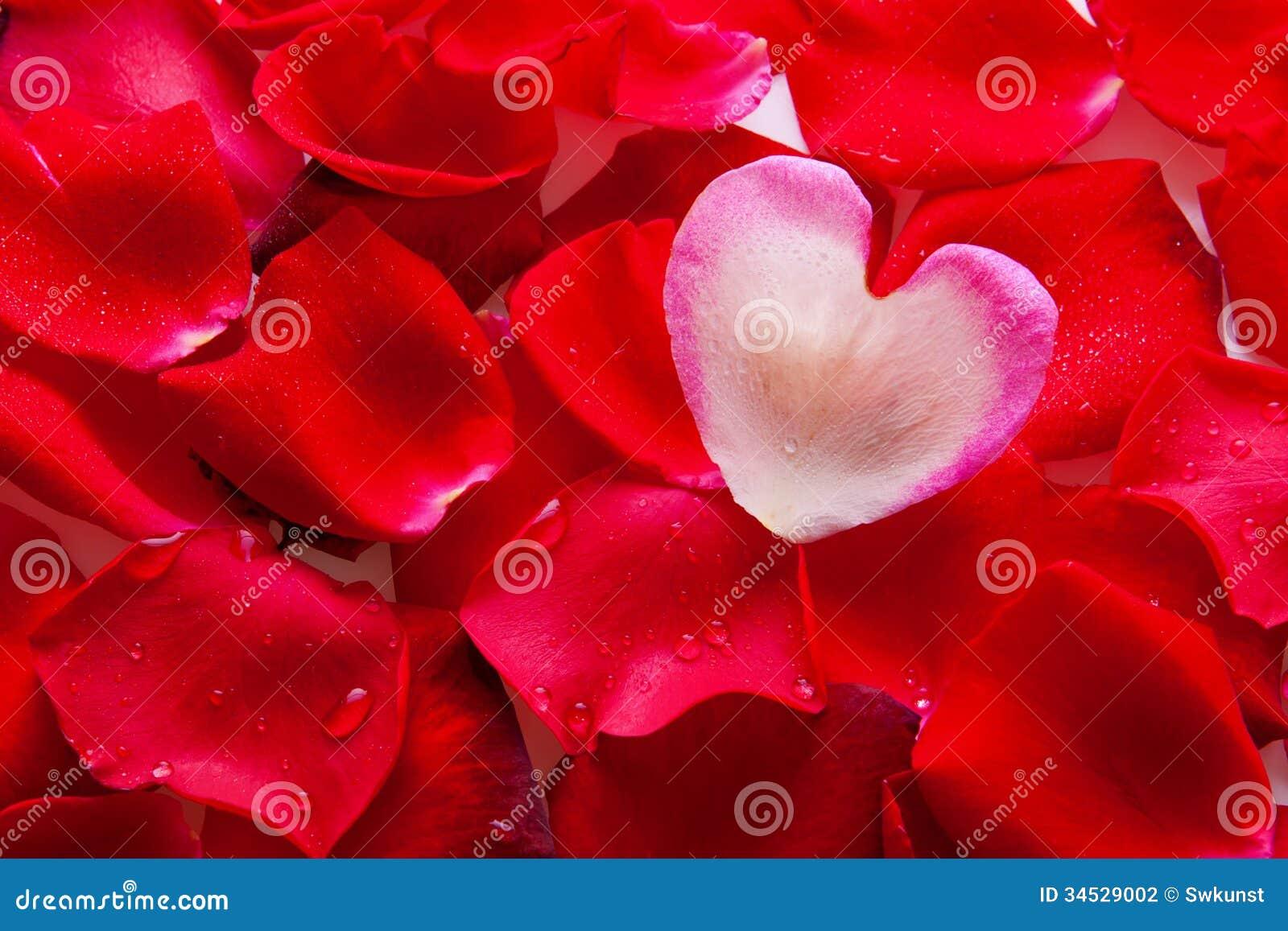 valentine rose petals heart. royalty free stock photo  image, Beautiful flower