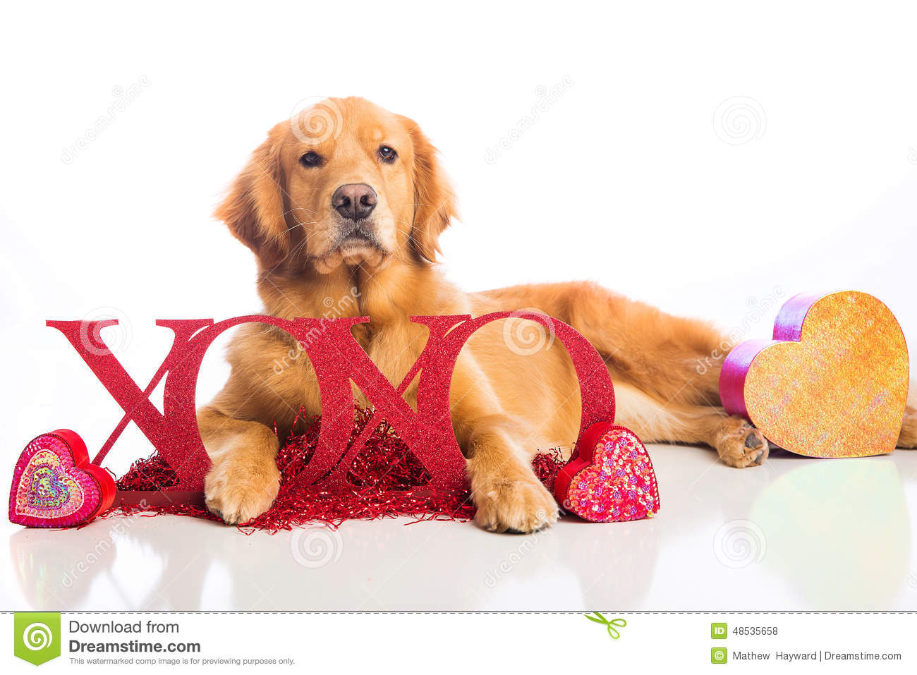 Valentine 39 s day dog stock photo image 48535658 - Valentines day pictures with puppies ...