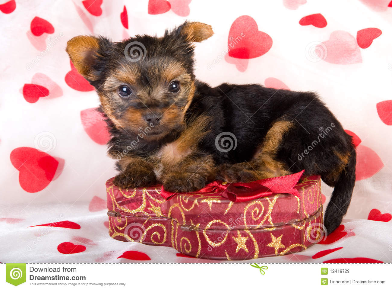 Valentine Teacup Yorkie Puppy Stock Image Image Of Mini Terrier