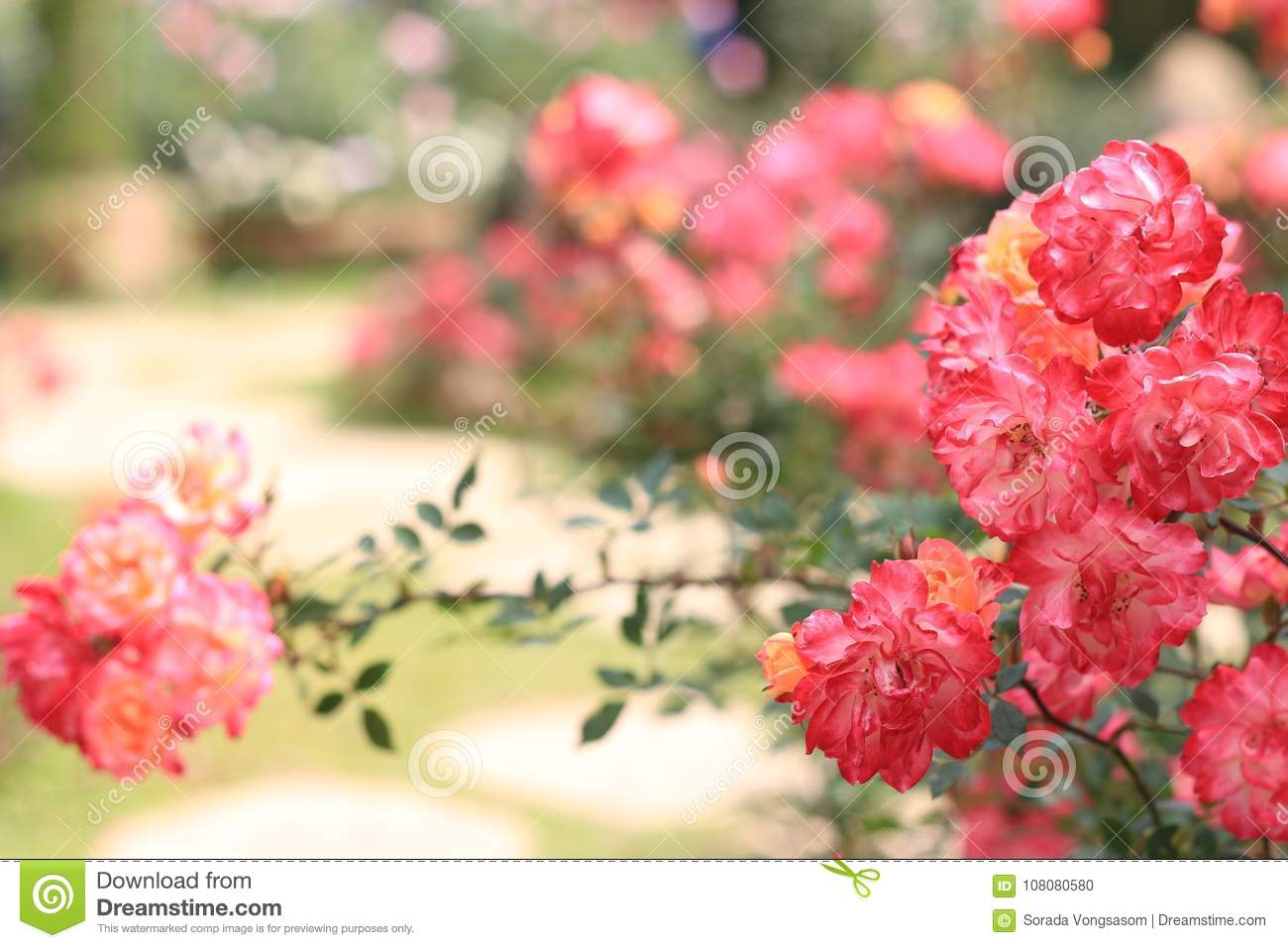 Valentines Day Background And Colours Rose Stock Photo Image Of