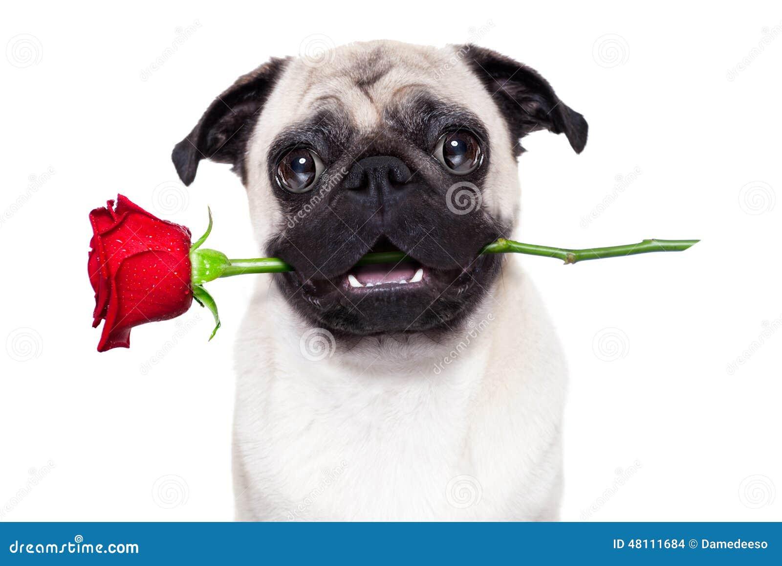 valentines dog stock photo  image of anniversary  happy