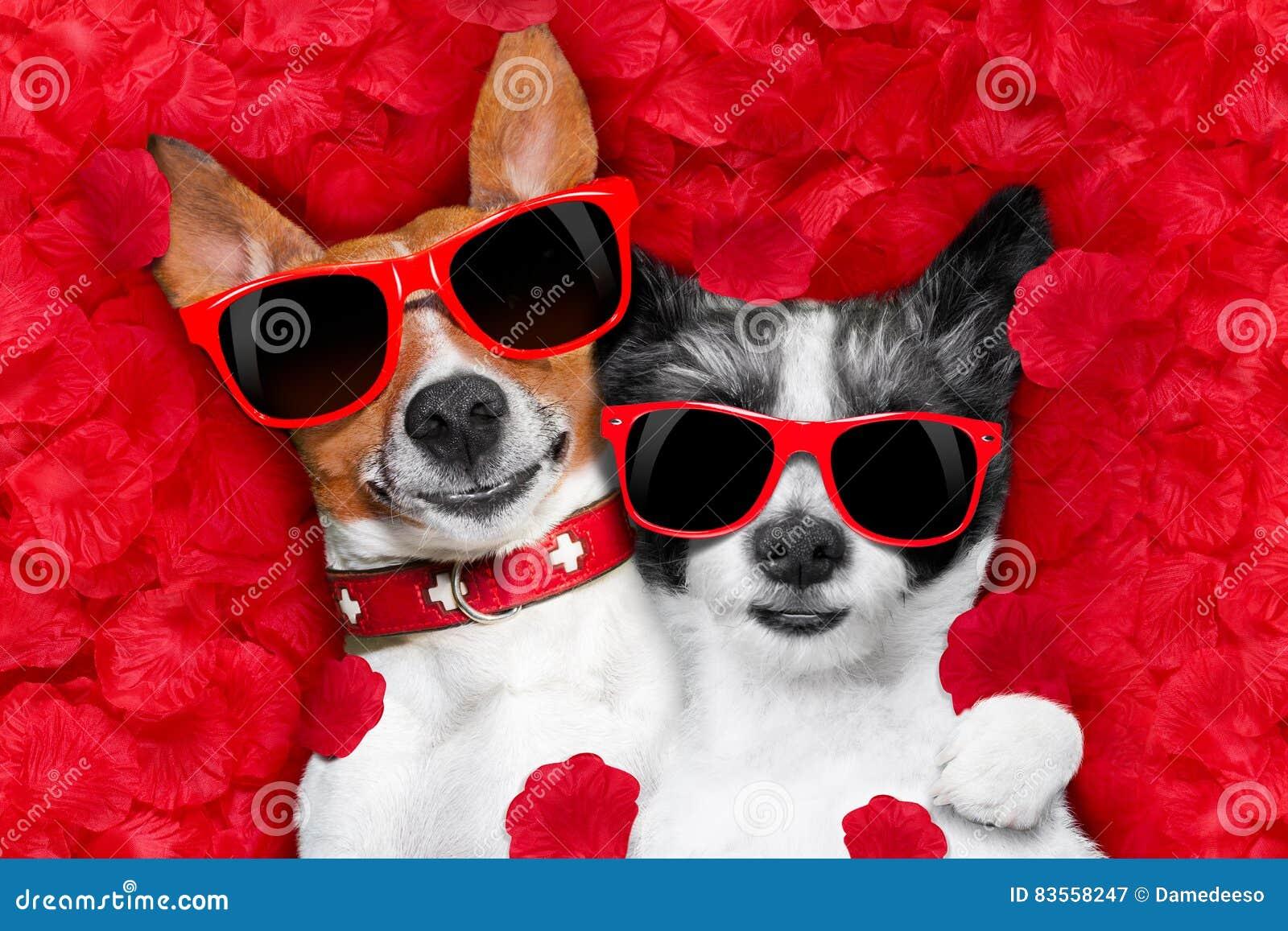 Valentinpar av förälskad hundkapplöpning